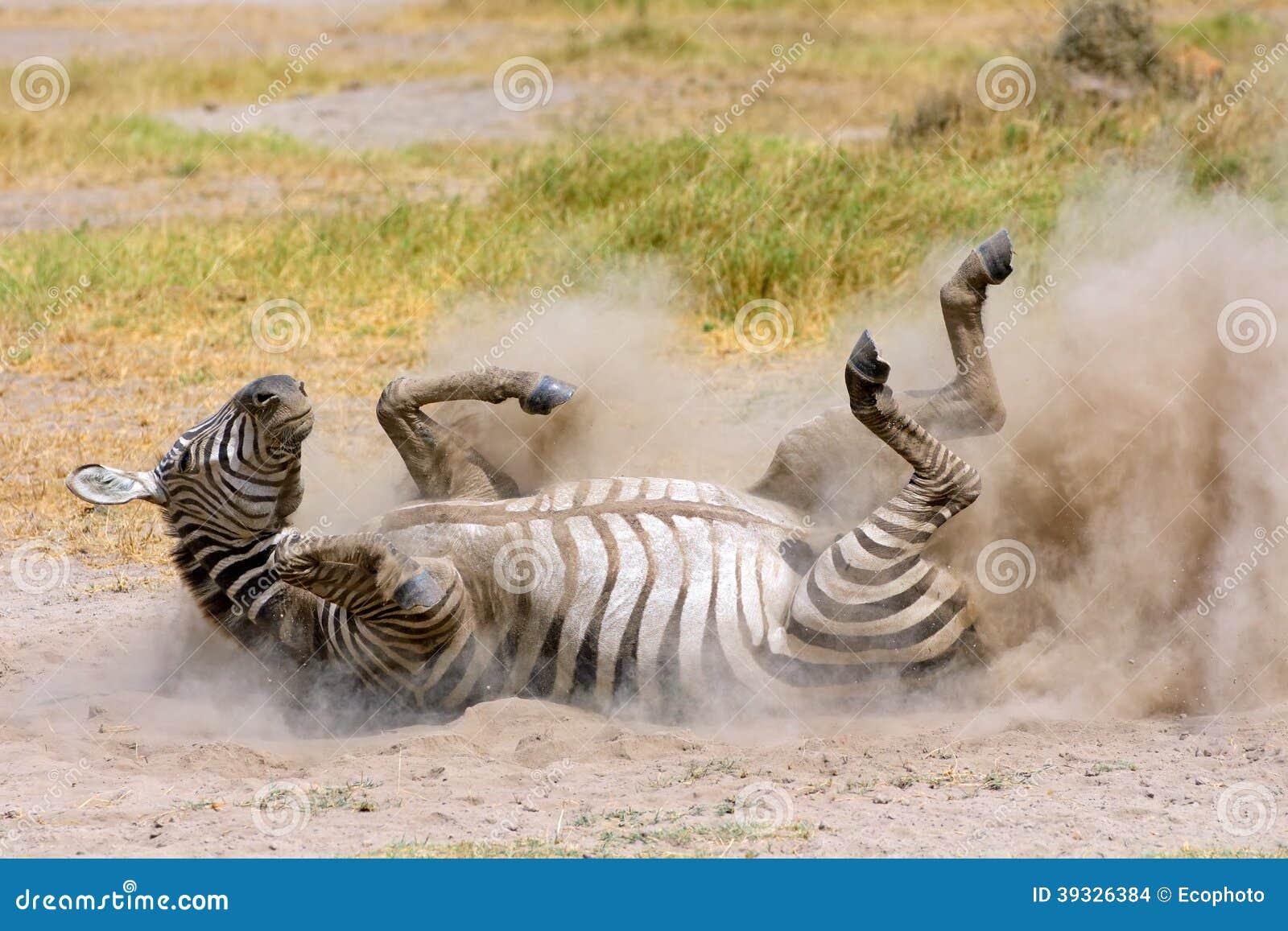 Zebra das planícies na poeira