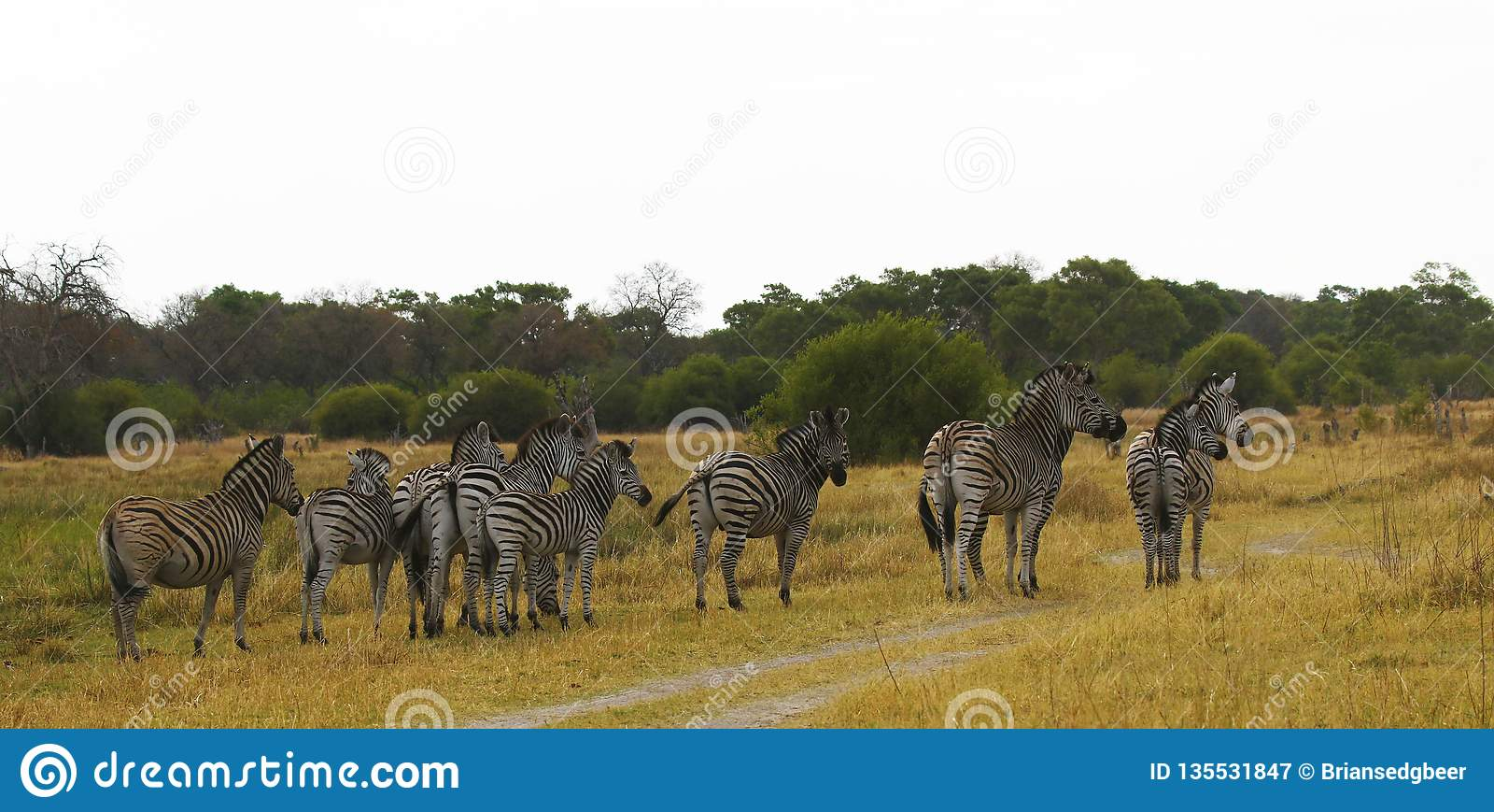 A zebra de Burchell bonito nas planícies africanas