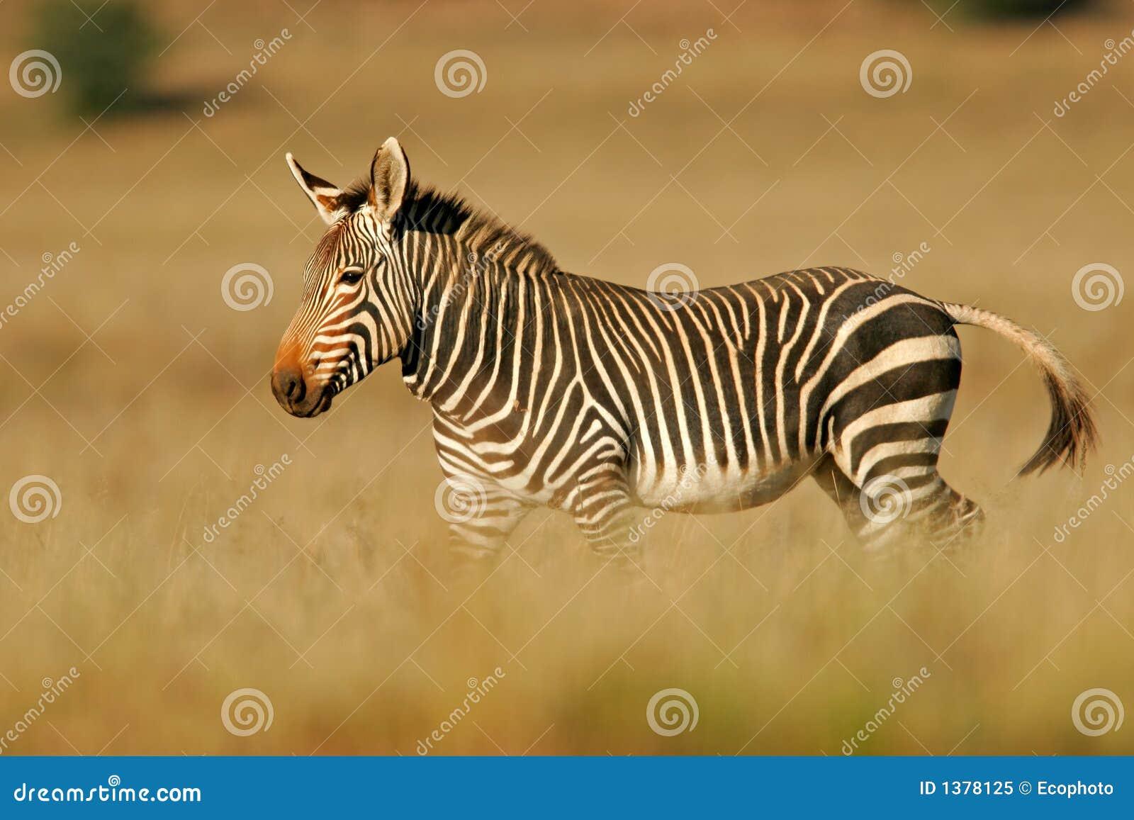 Zebra de montanha do cabo