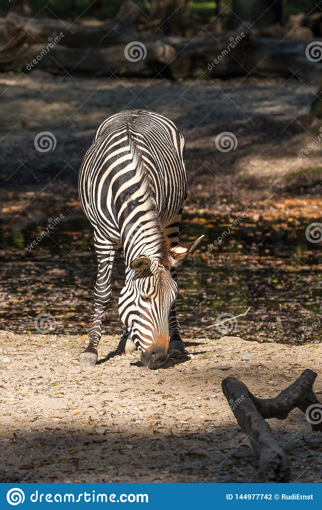 Zebra de montanha de Hartmann, hartmannae da zebra do Equus Uma zebra posta em perigo