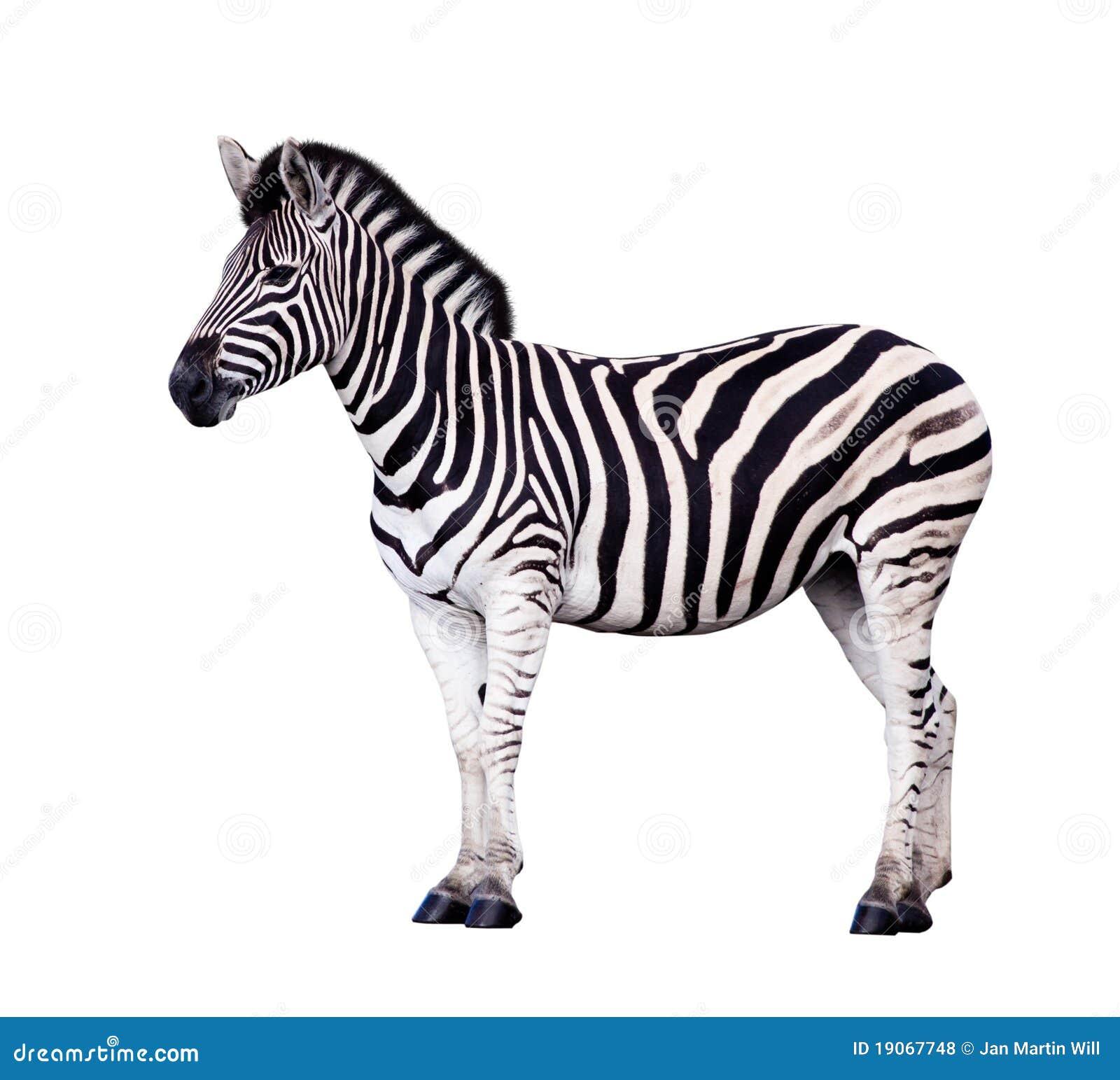 Zebra die op Wit wordt geïsoleerdl