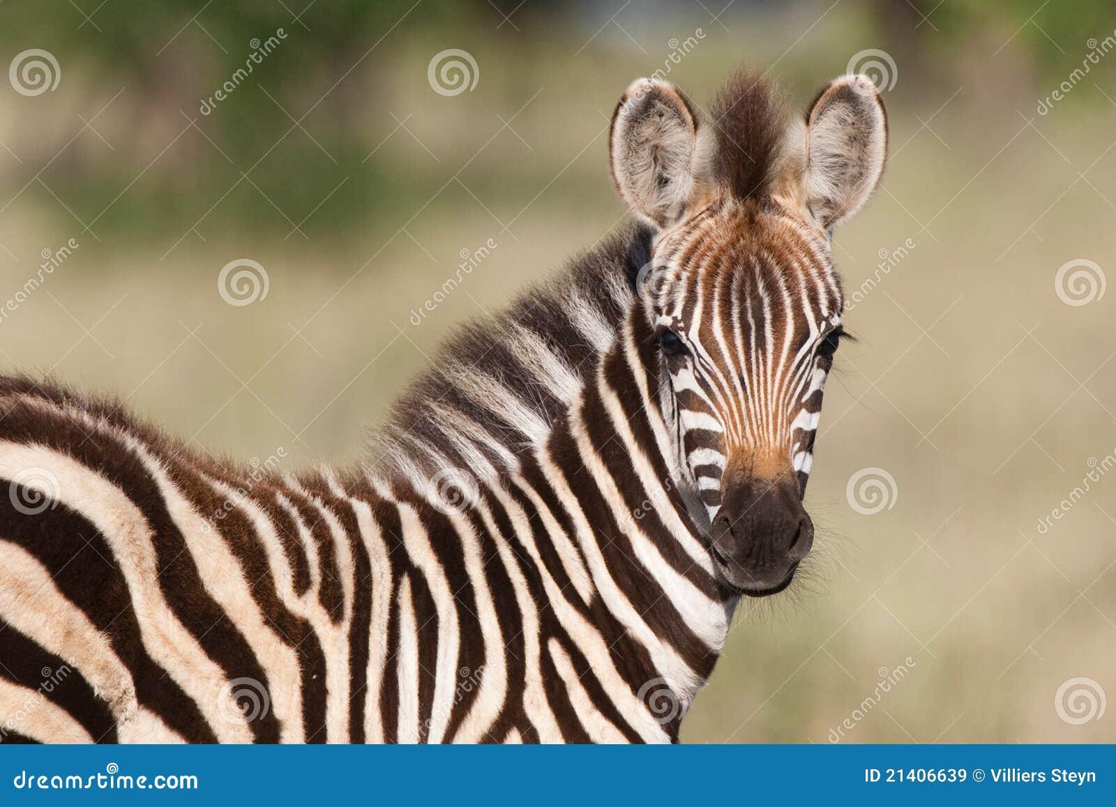 Zebra do bebê