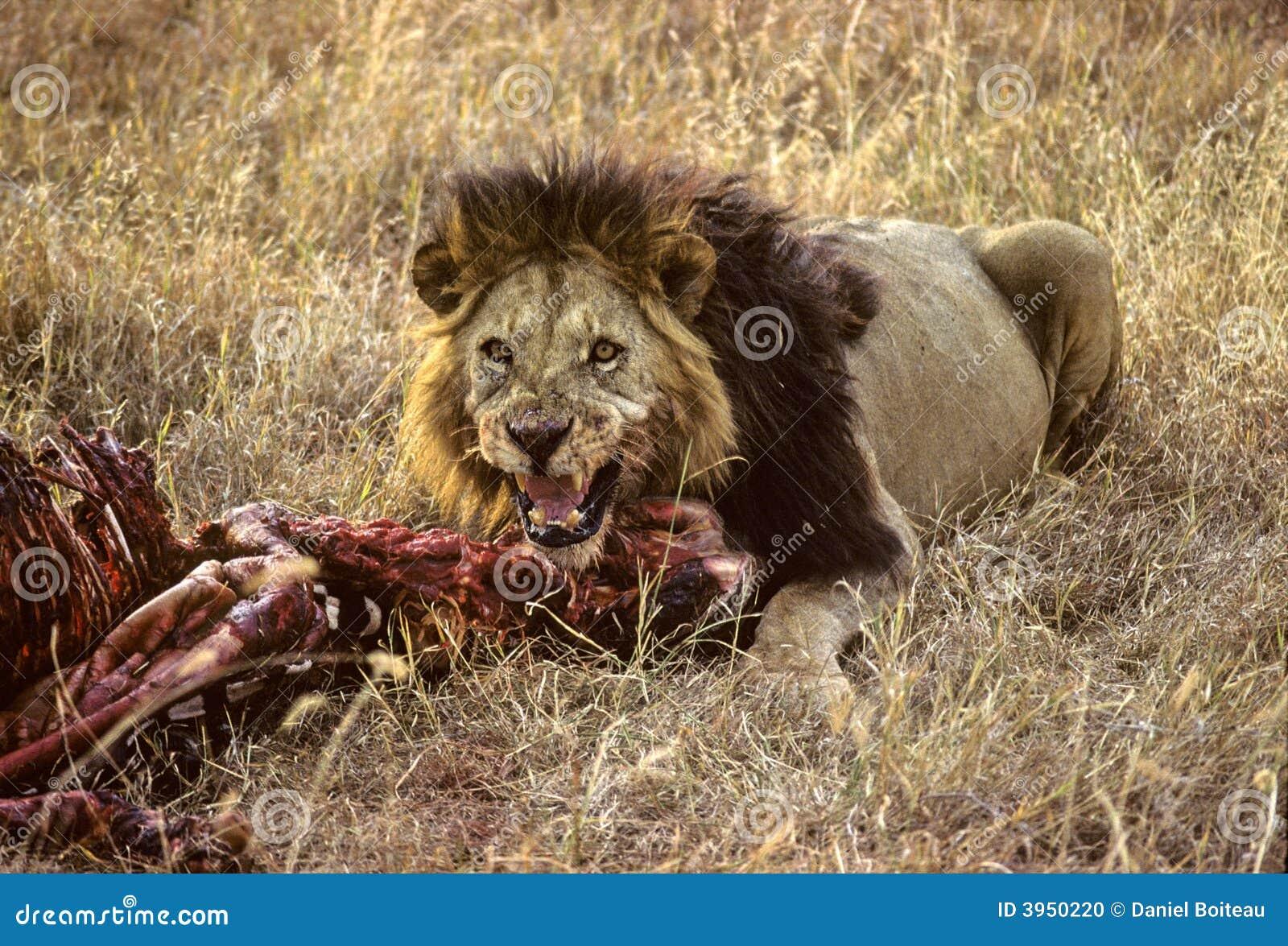 Zebra do leão