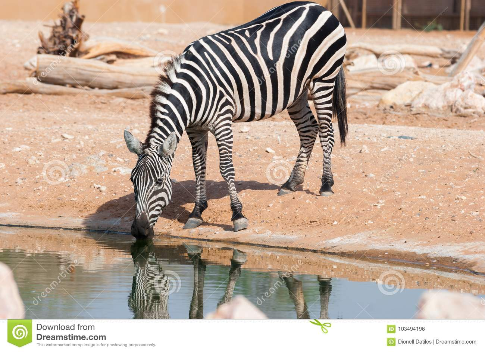 Zebra drinking in a pond