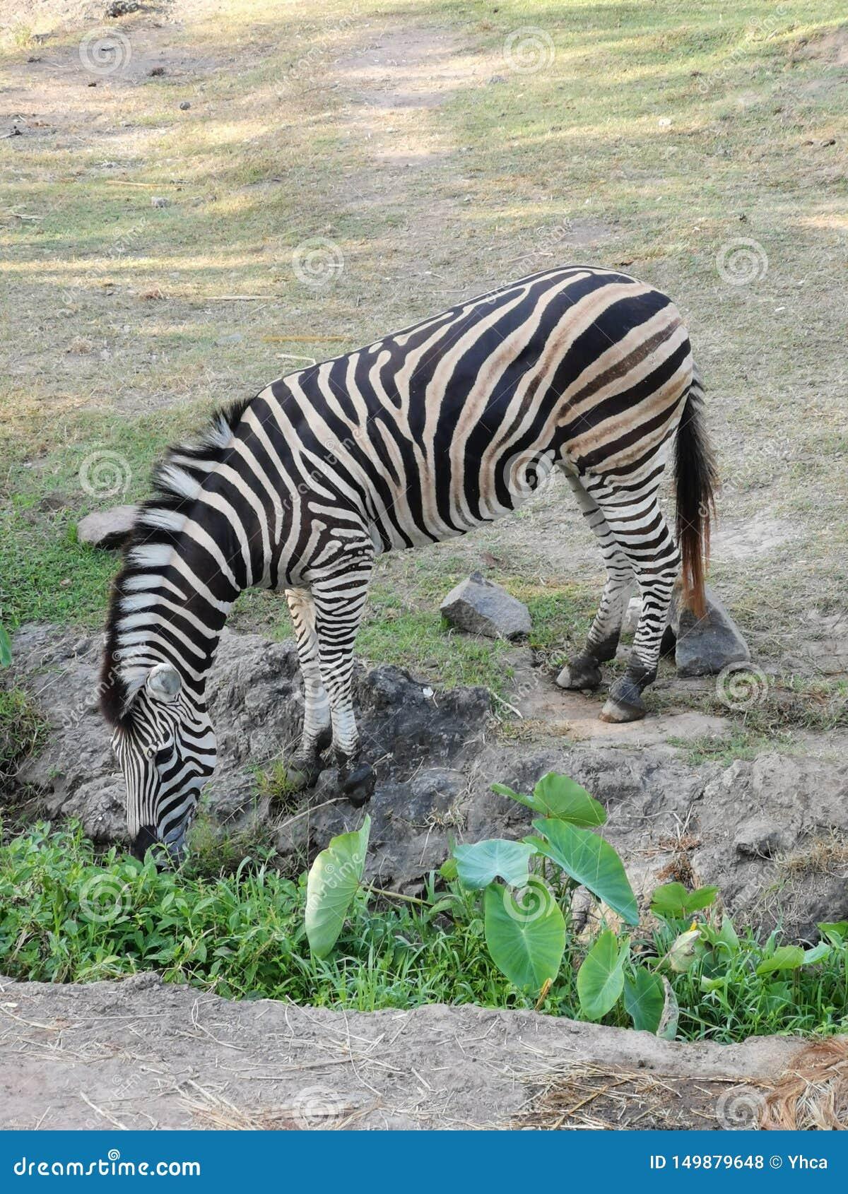 Zebra drinking water in the field