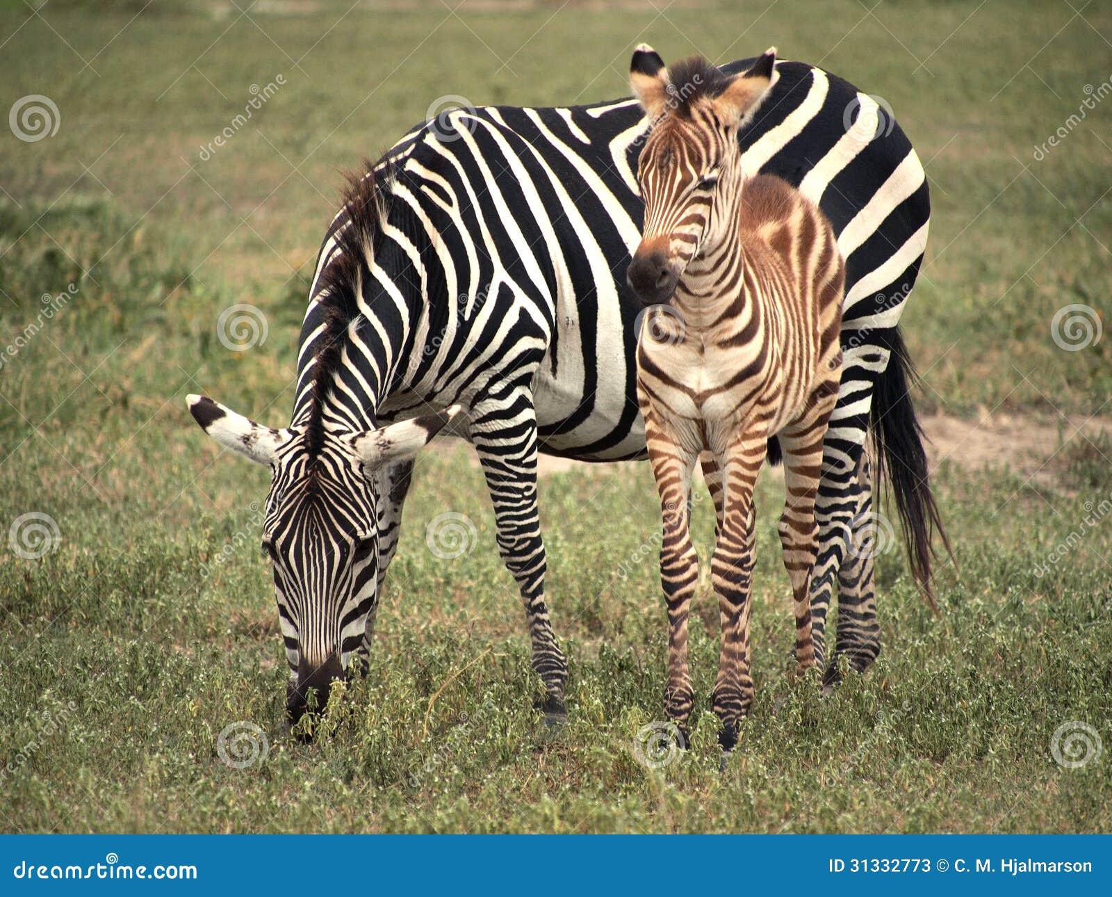 Zebra e puledro