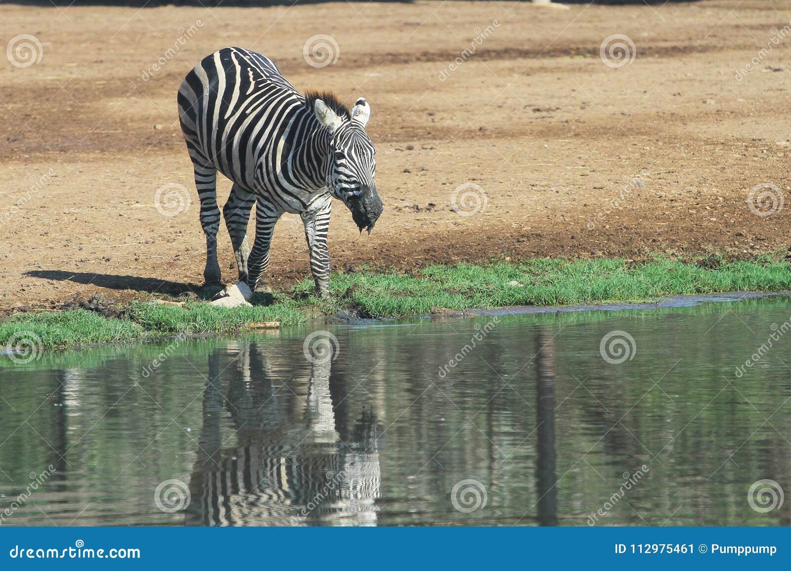 Zebra eat water near river
