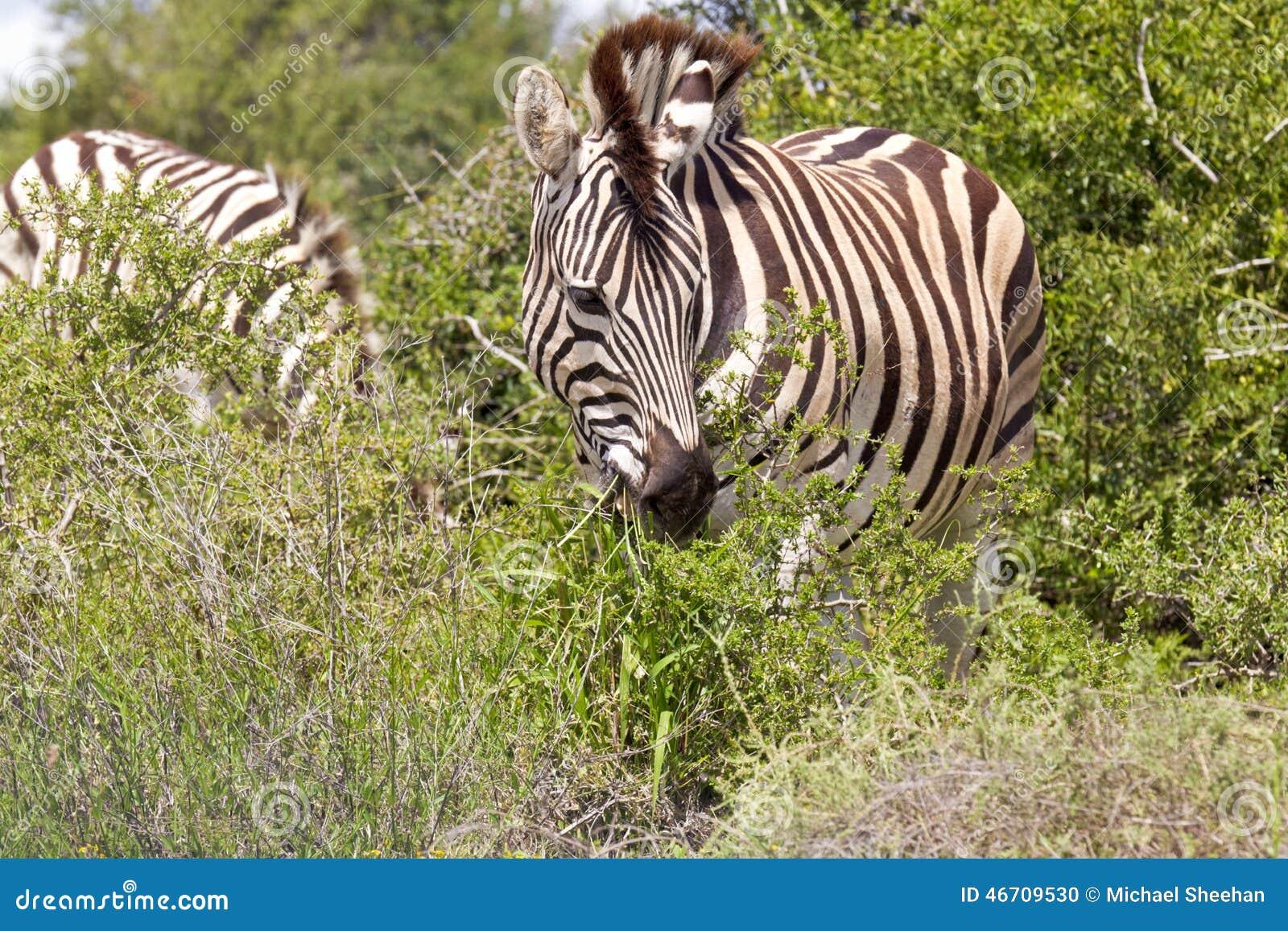 Zebra Eating Leaves Stock Photo Image 46709530