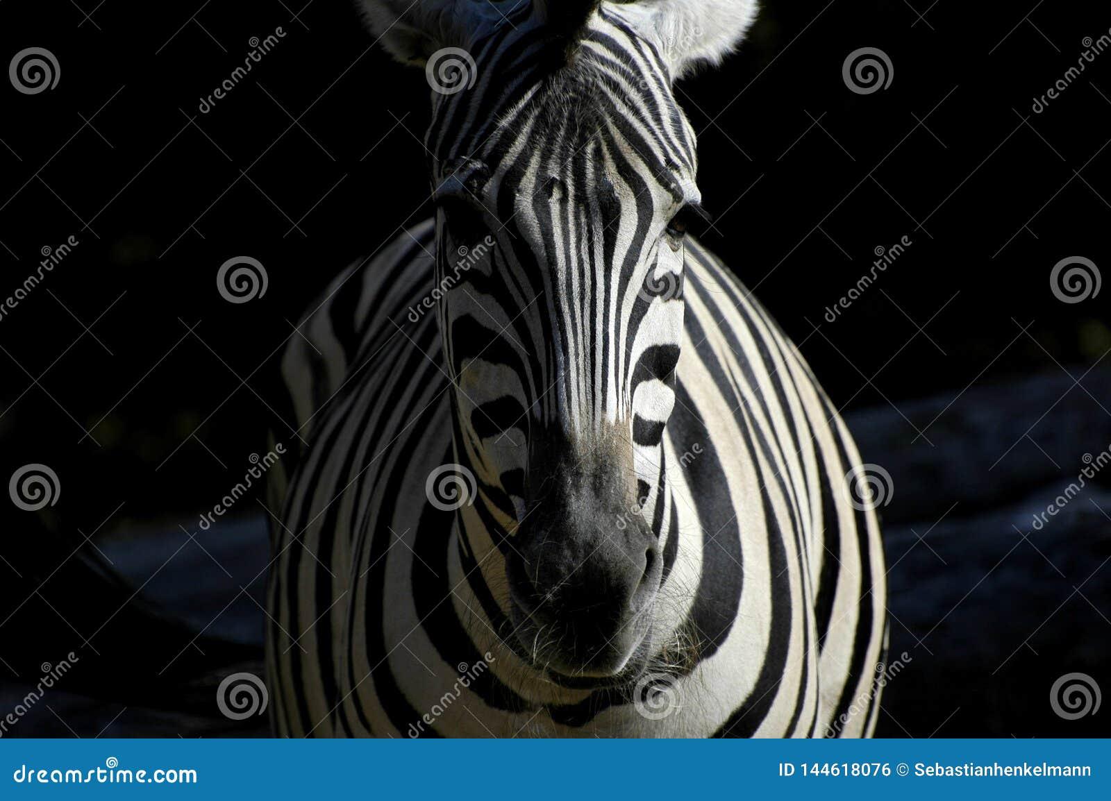 Zebra em claro e em escuro