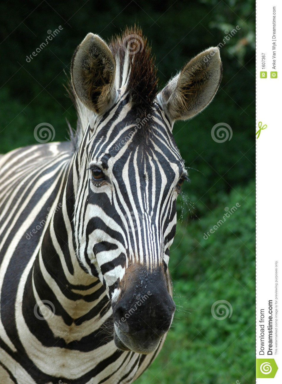 Zebra Face Royalty Free Stock Photography - Image: 1607367