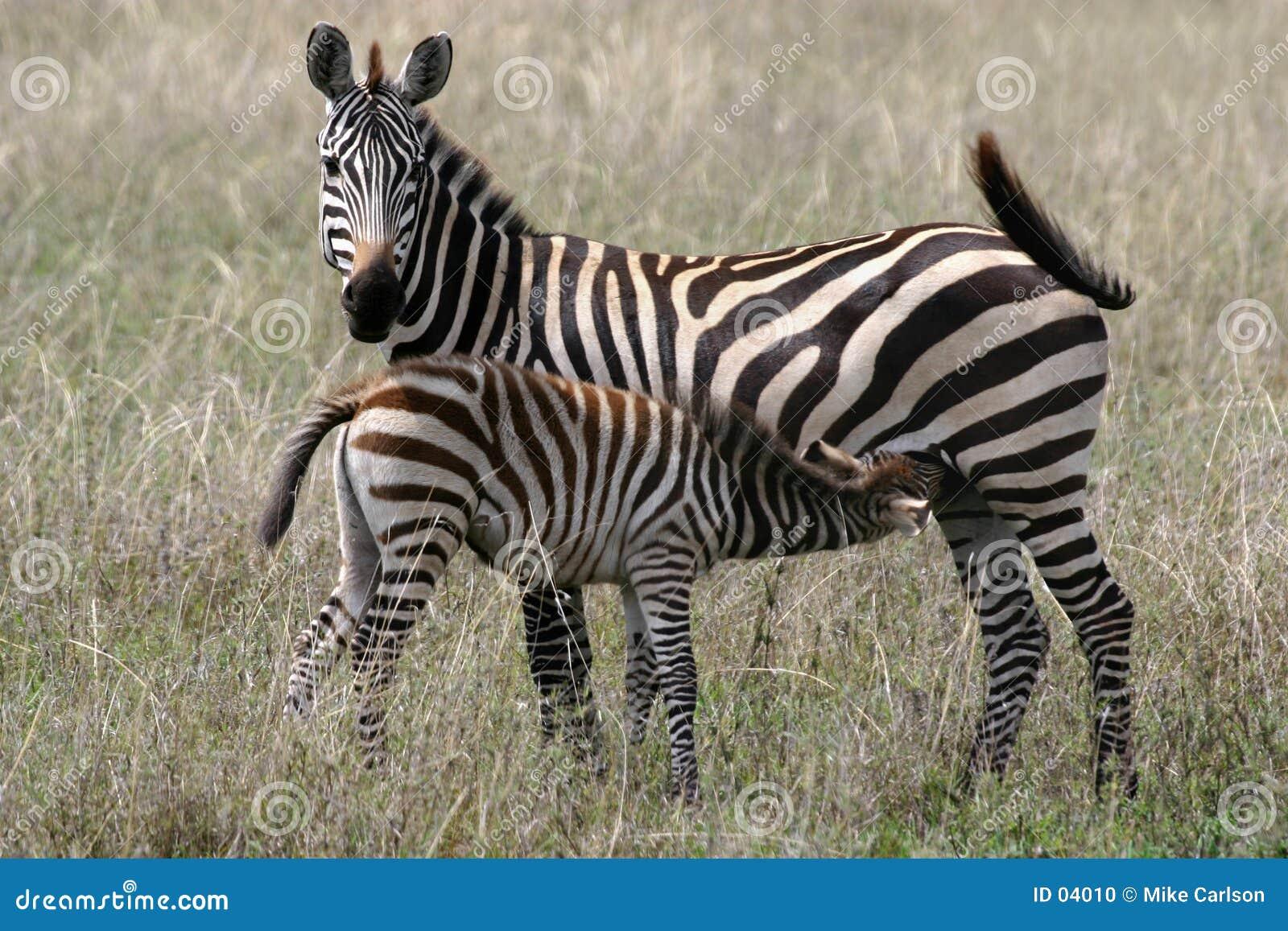 Zebra Feeding Time