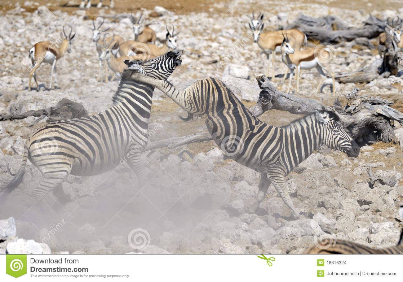 zebra fighting stock images image 18616324