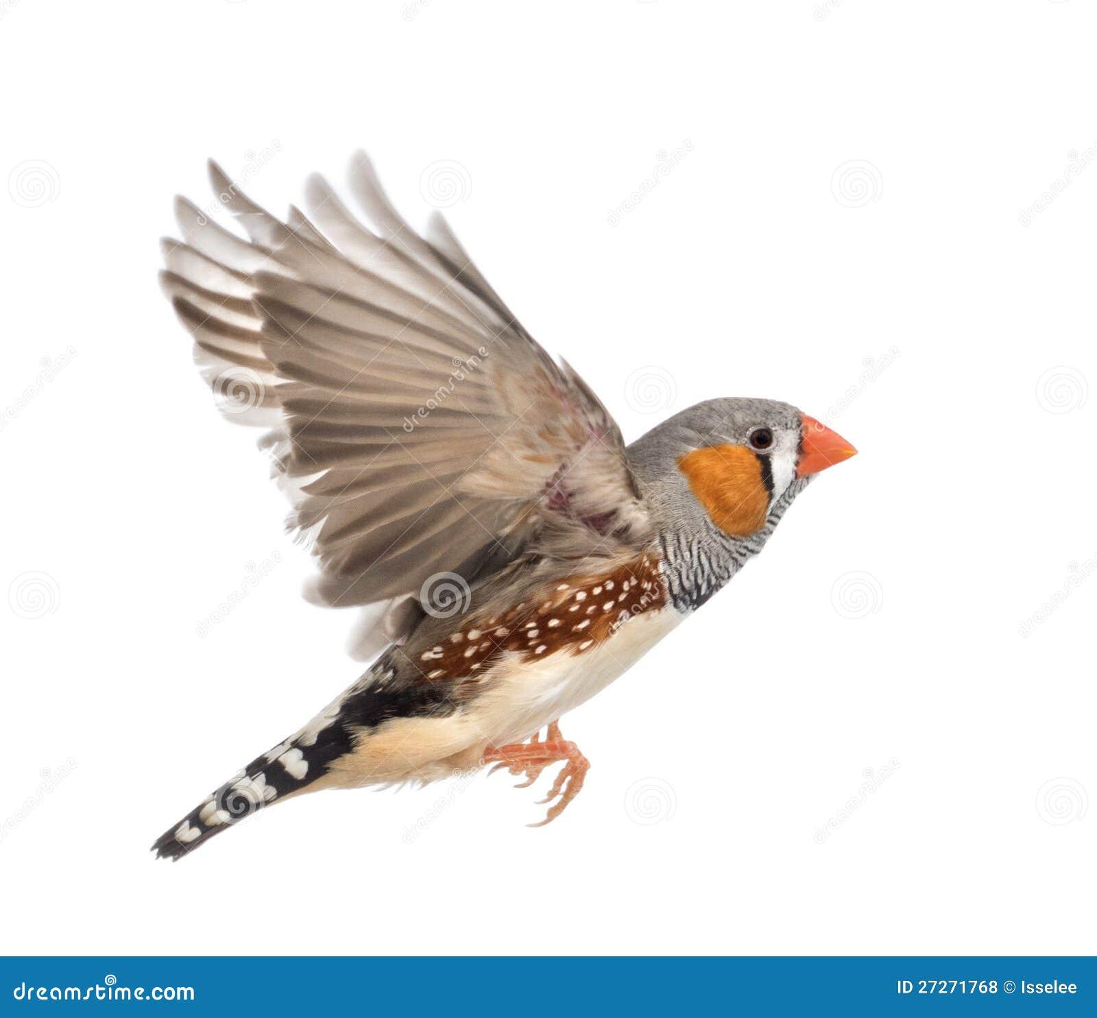 Bird house clipart free download clip art free clip art on - Zebra Finch Flying Taeniopygia Guttata Royalty Free Stock