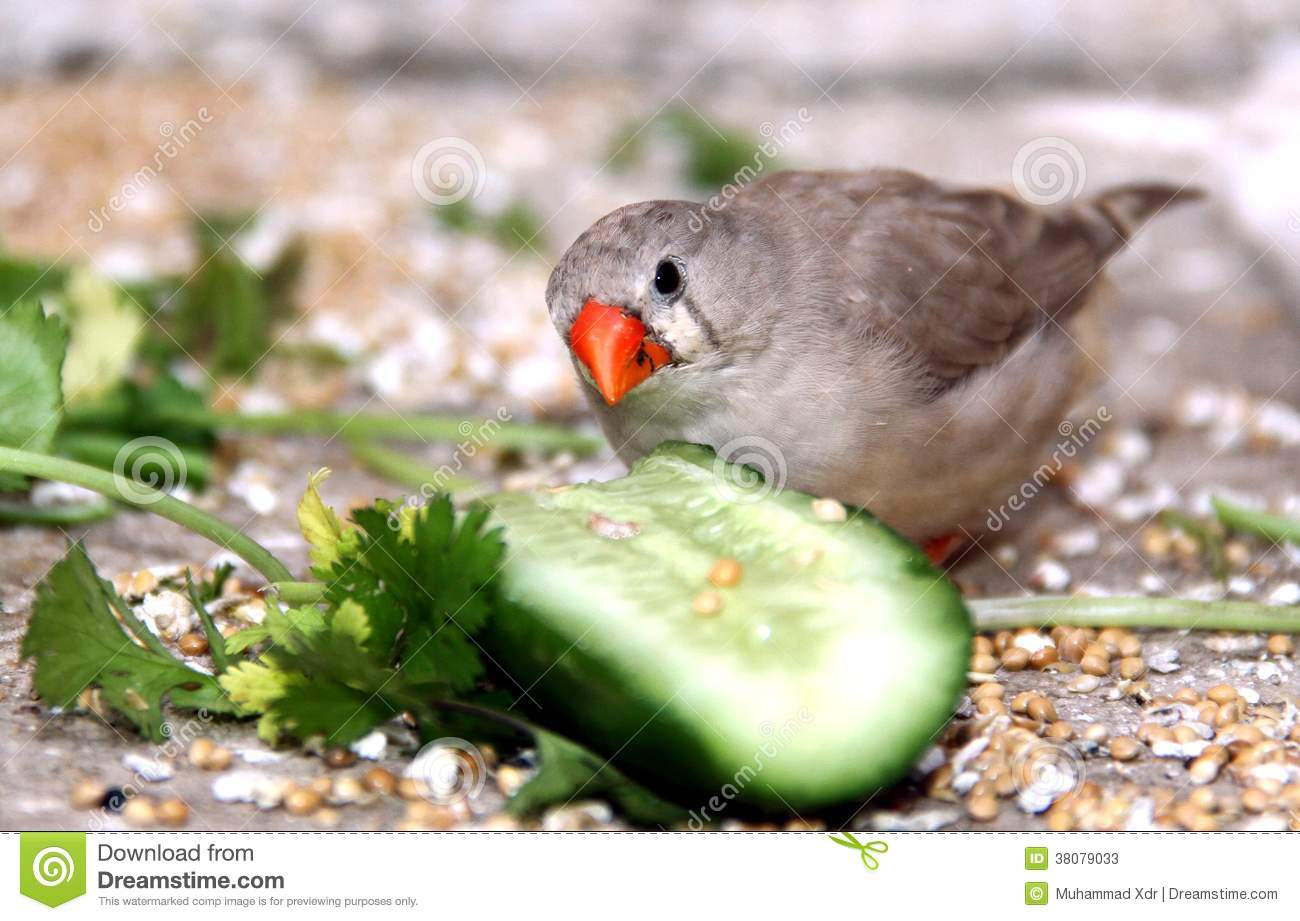 Zebra Finch Stock Photos - Image: 38079033