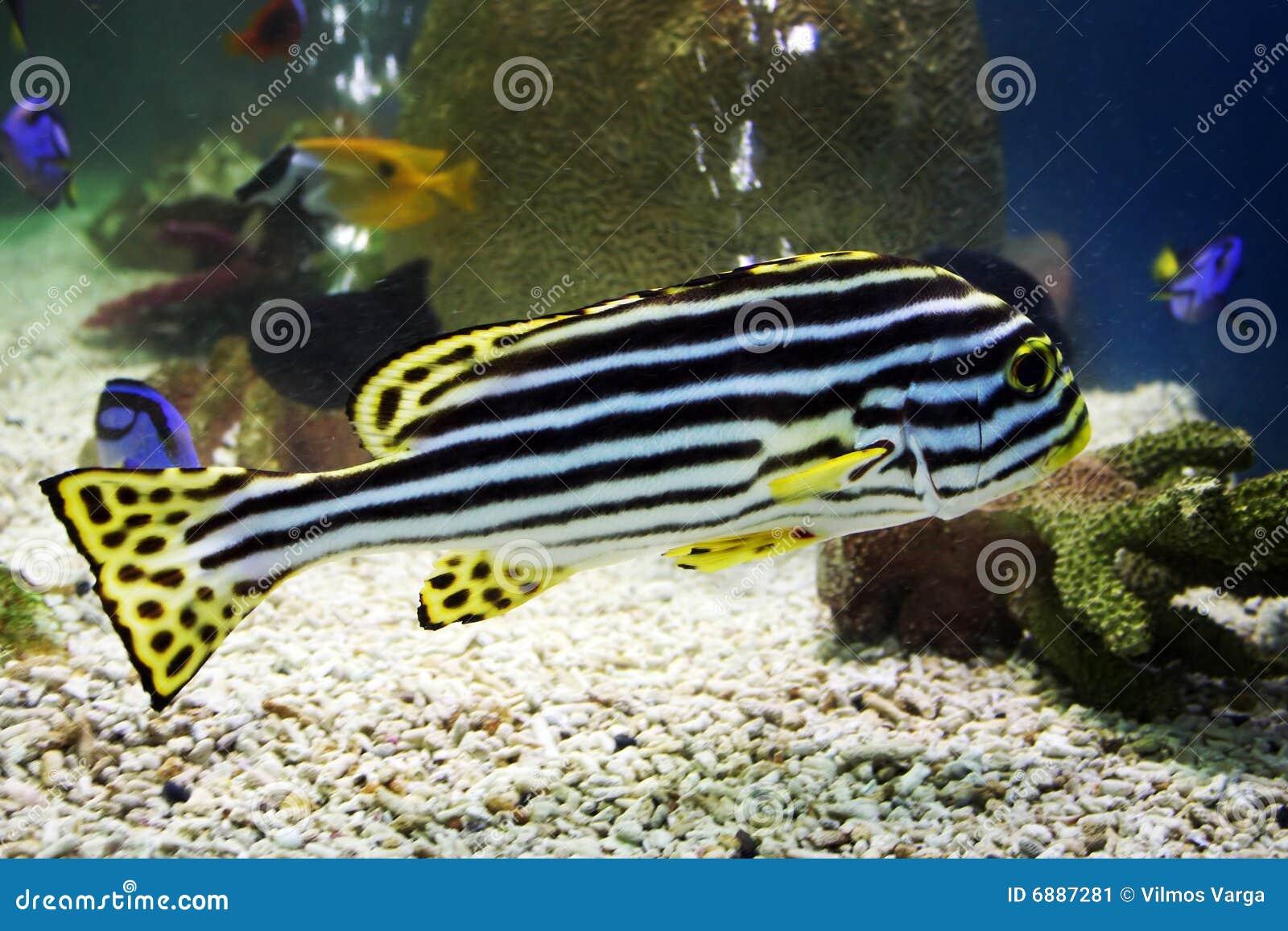 Zebra fische stockbild bild 6887281 for Salzwasser aquarium fische