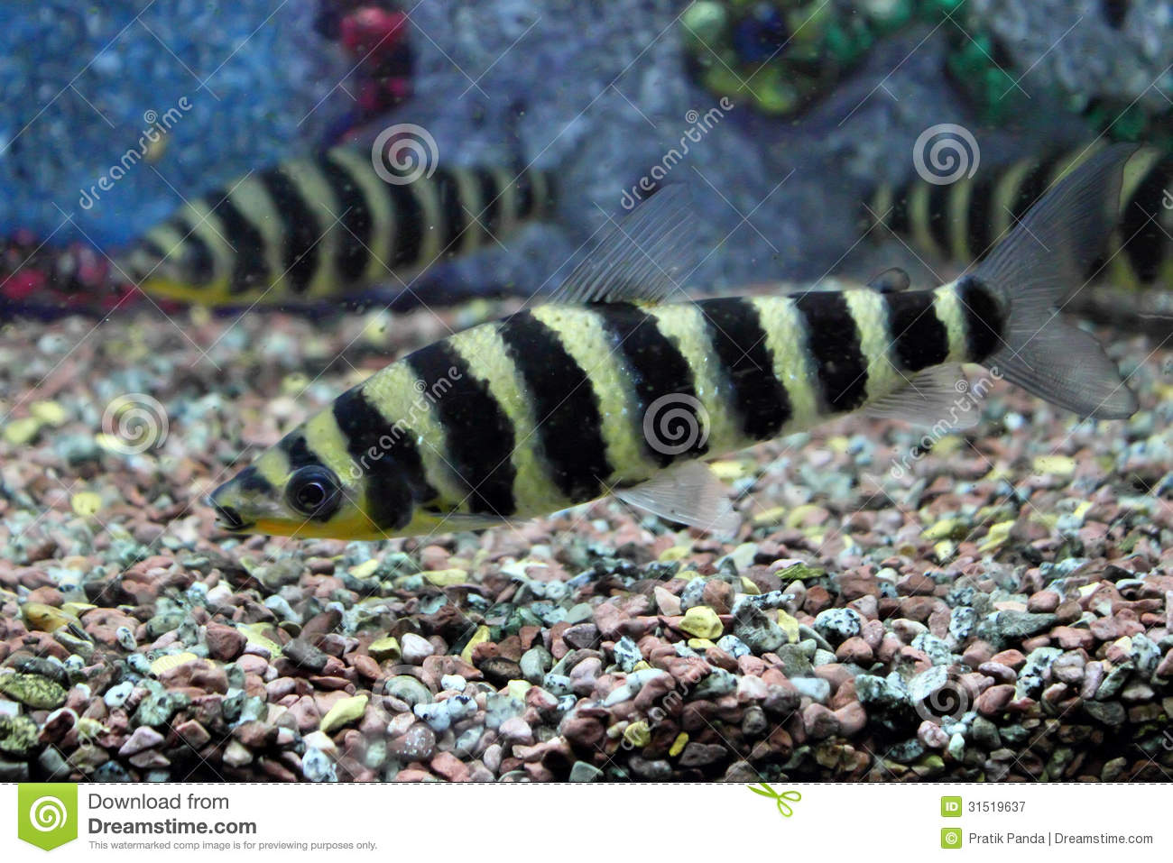 Zebra fish royalty free stock photography image 31519637 for Black and white striped fish freshwater