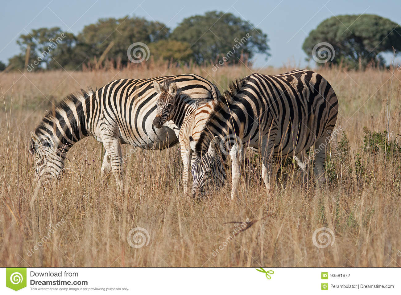 ZEBRA FOAL BETWEEN ADULTS