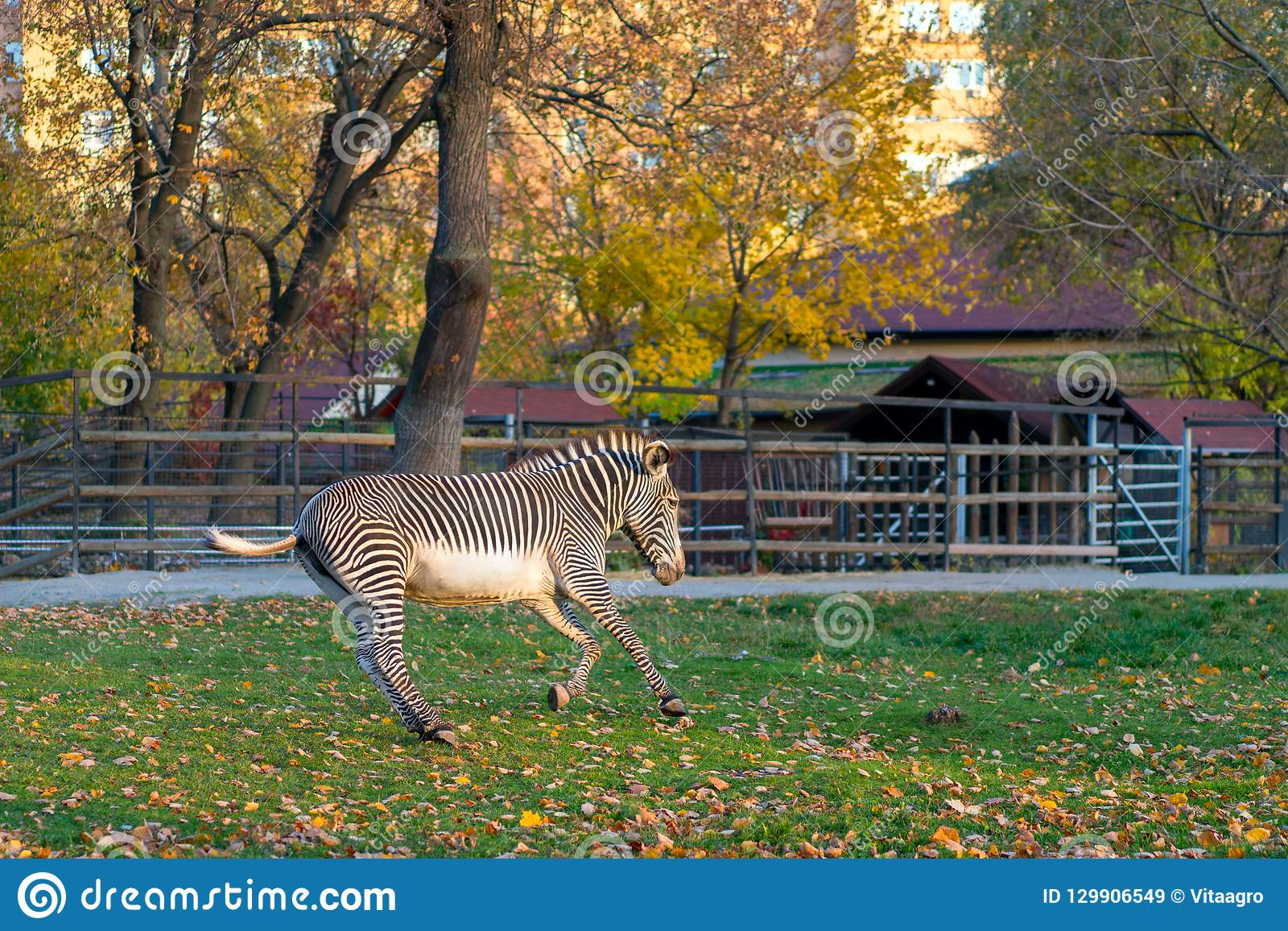 Zebra gallops in city park in autumn season.