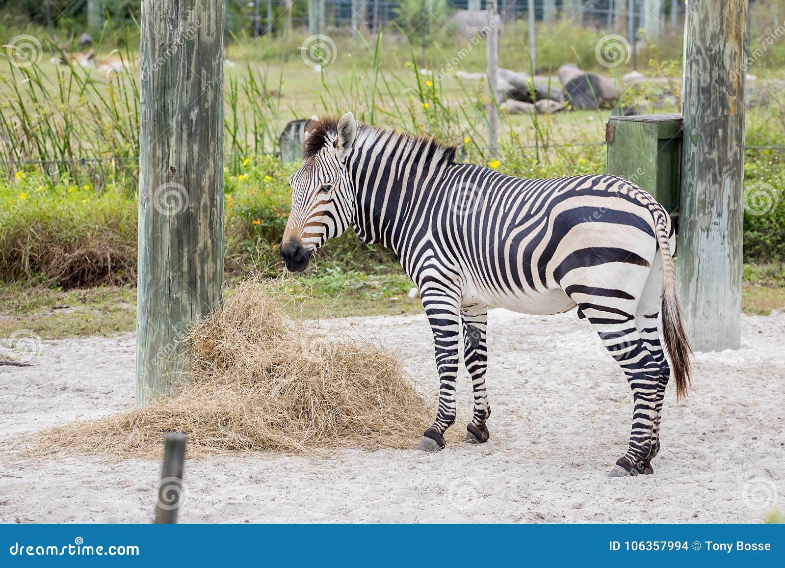 Zebra in gevangenschap