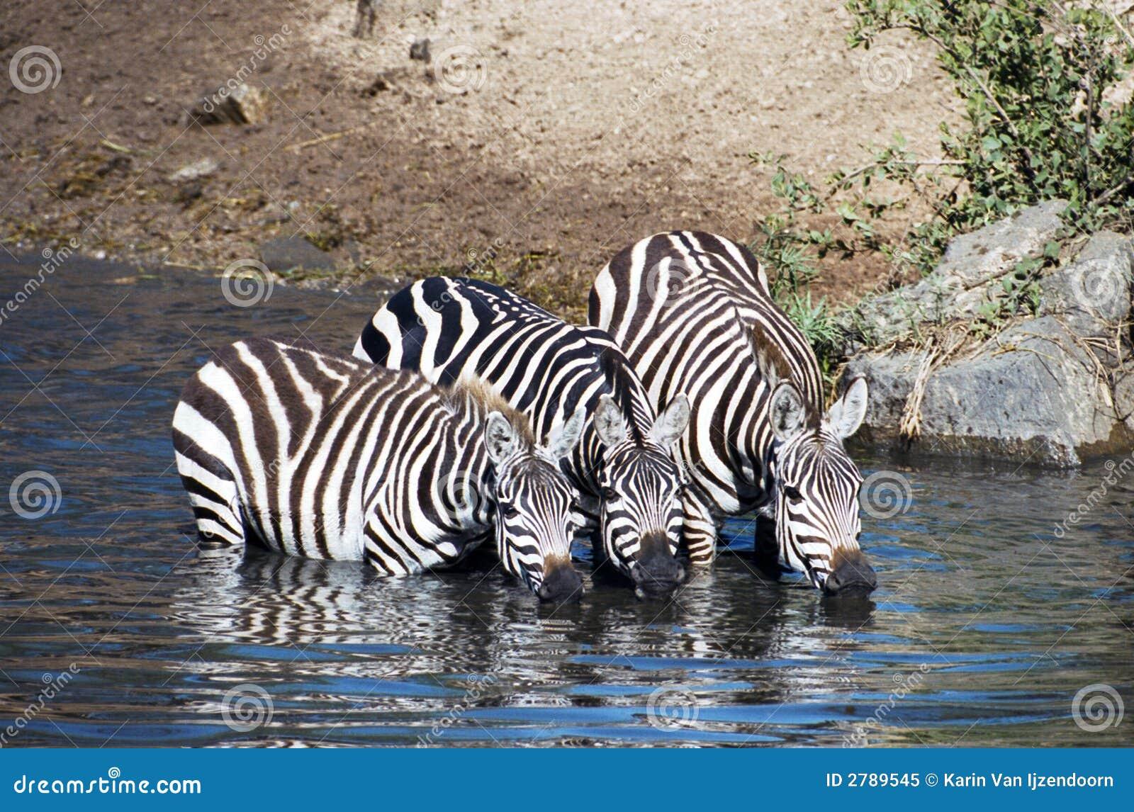 Zebra having a drink