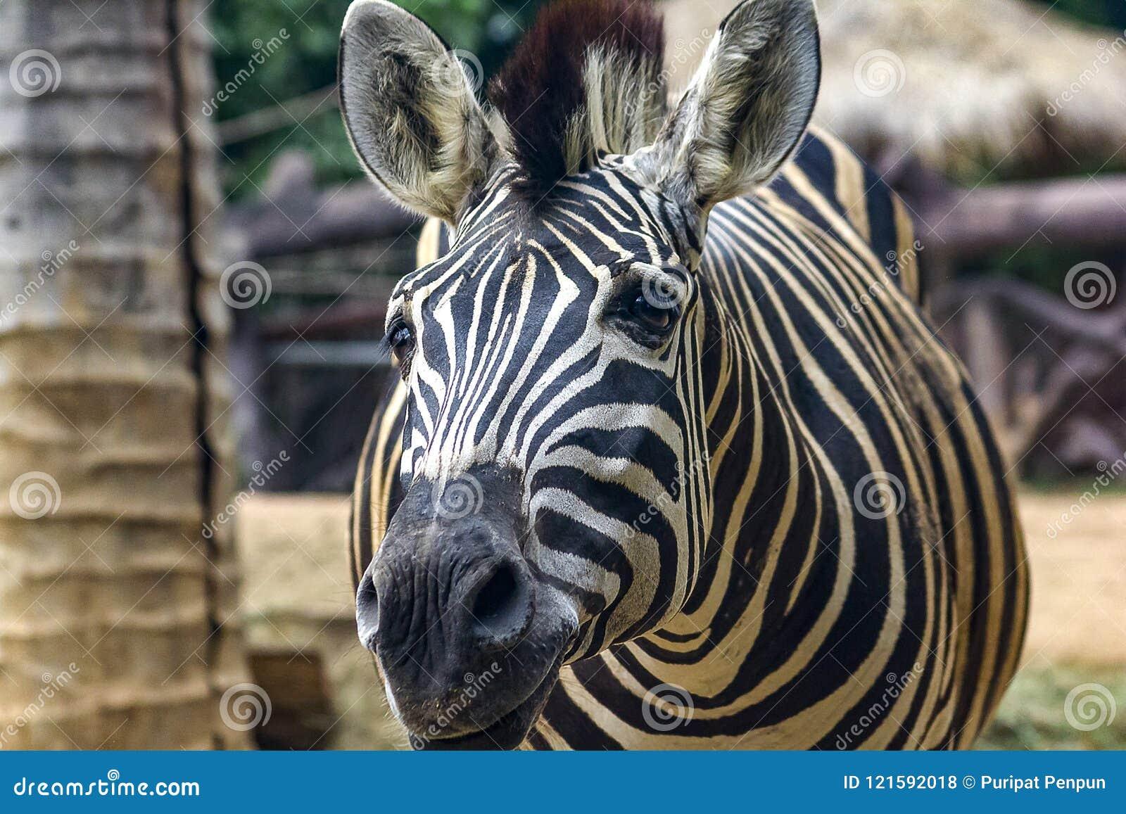 Zebra Head Patterns Of White Color Alternating Black. Stock Photo ...