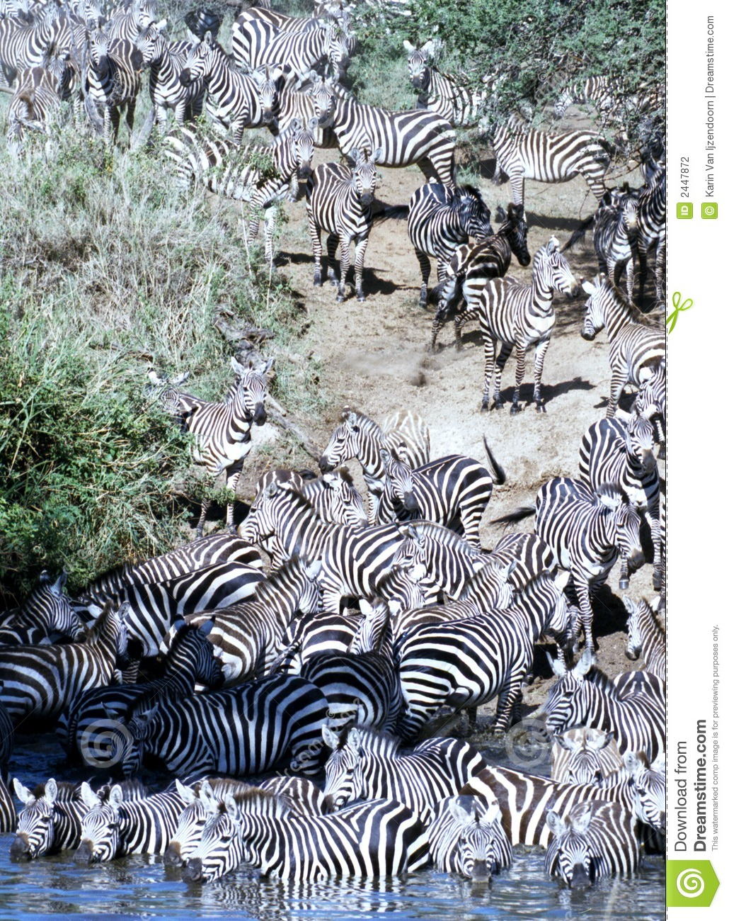 Zebra herd going for a drink in Serengeti