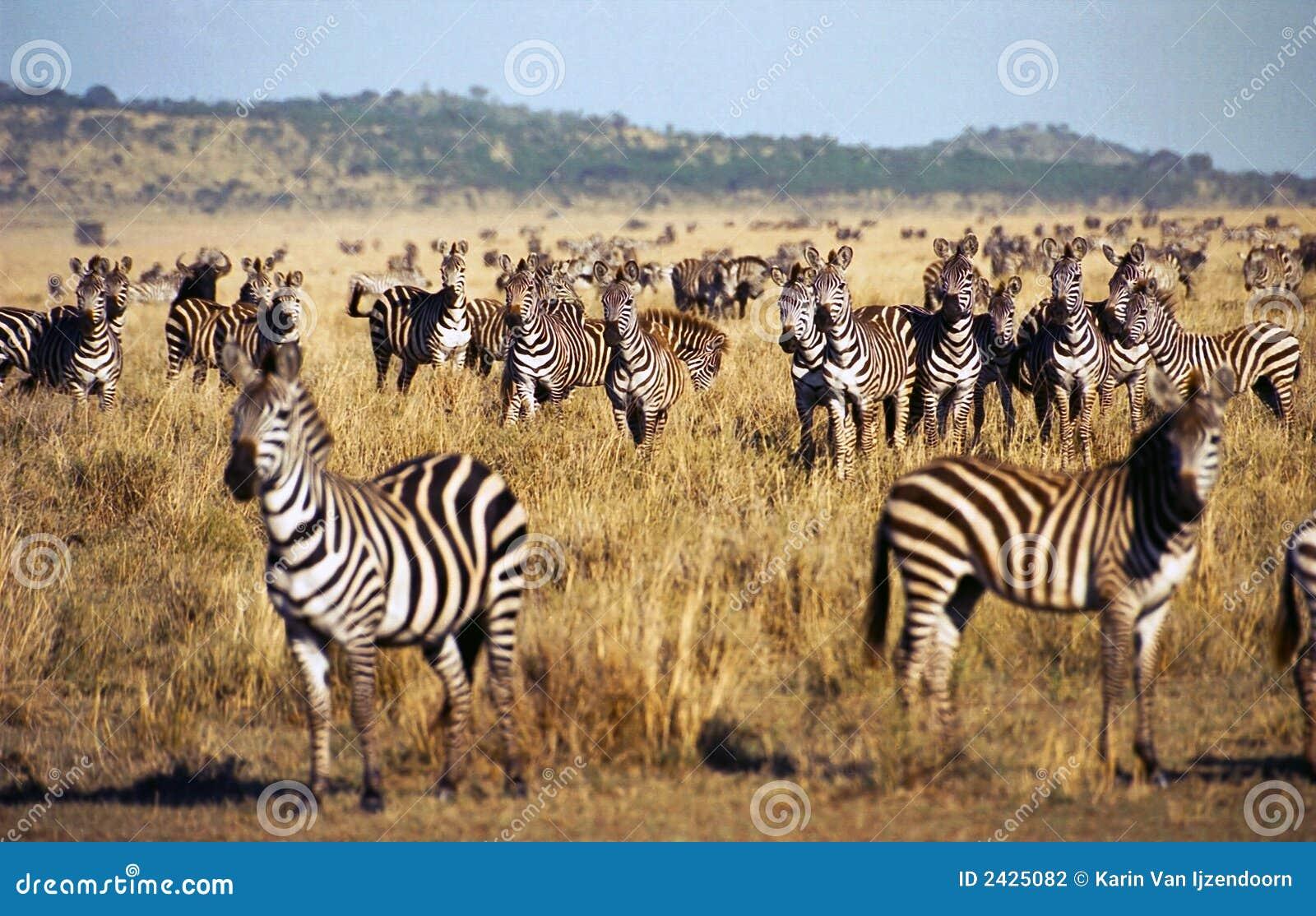 Zebra Herd During Serengeti Migration Stock Photography