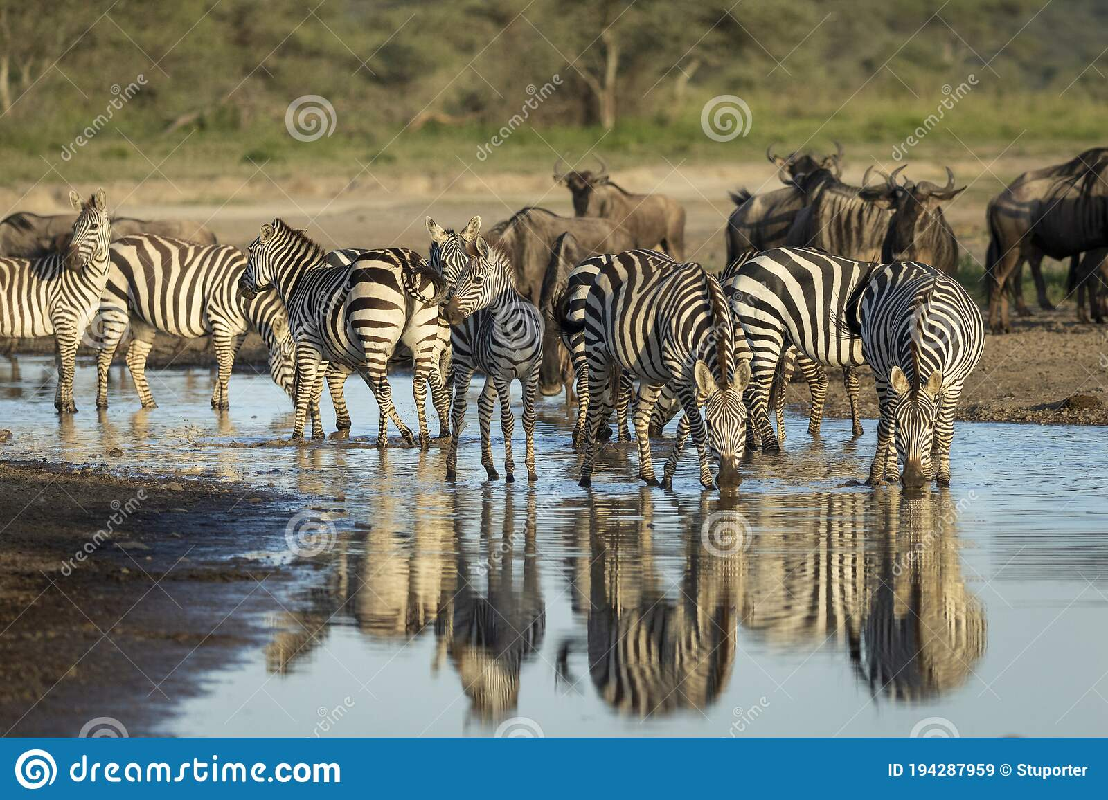 Wildlife 10x15 FT Photo Backdrops,Herd of Zebras and Wildebeest Drinking Water in Serengeti Tanzania Picture Background for Photography Kids Adult Photo Booth Video Shoot Vinyl Studio Props
