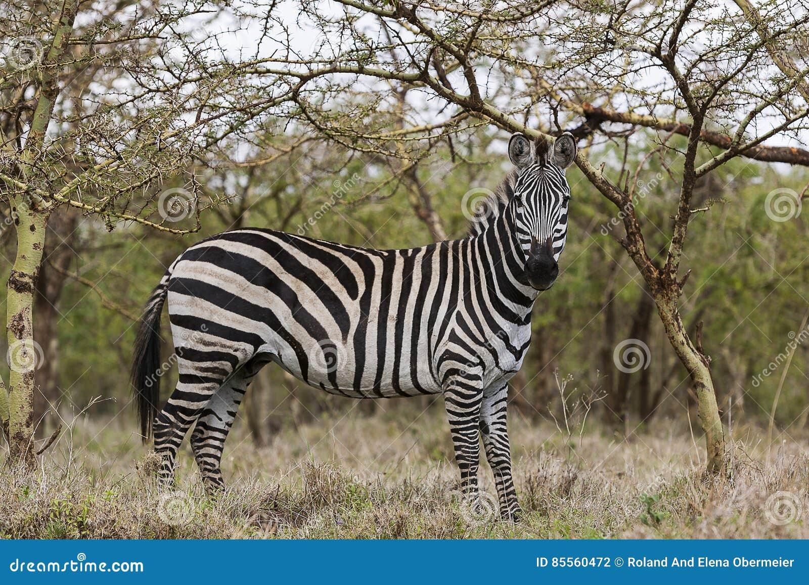 Zebra im Serengeti Nationalpark