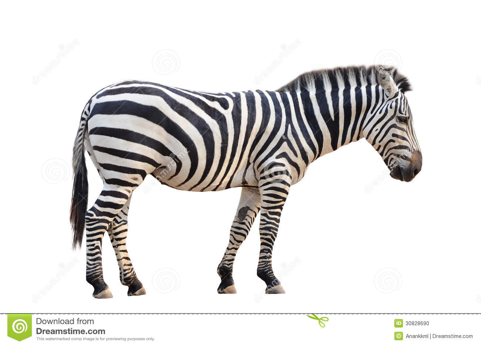 Zebra isolata