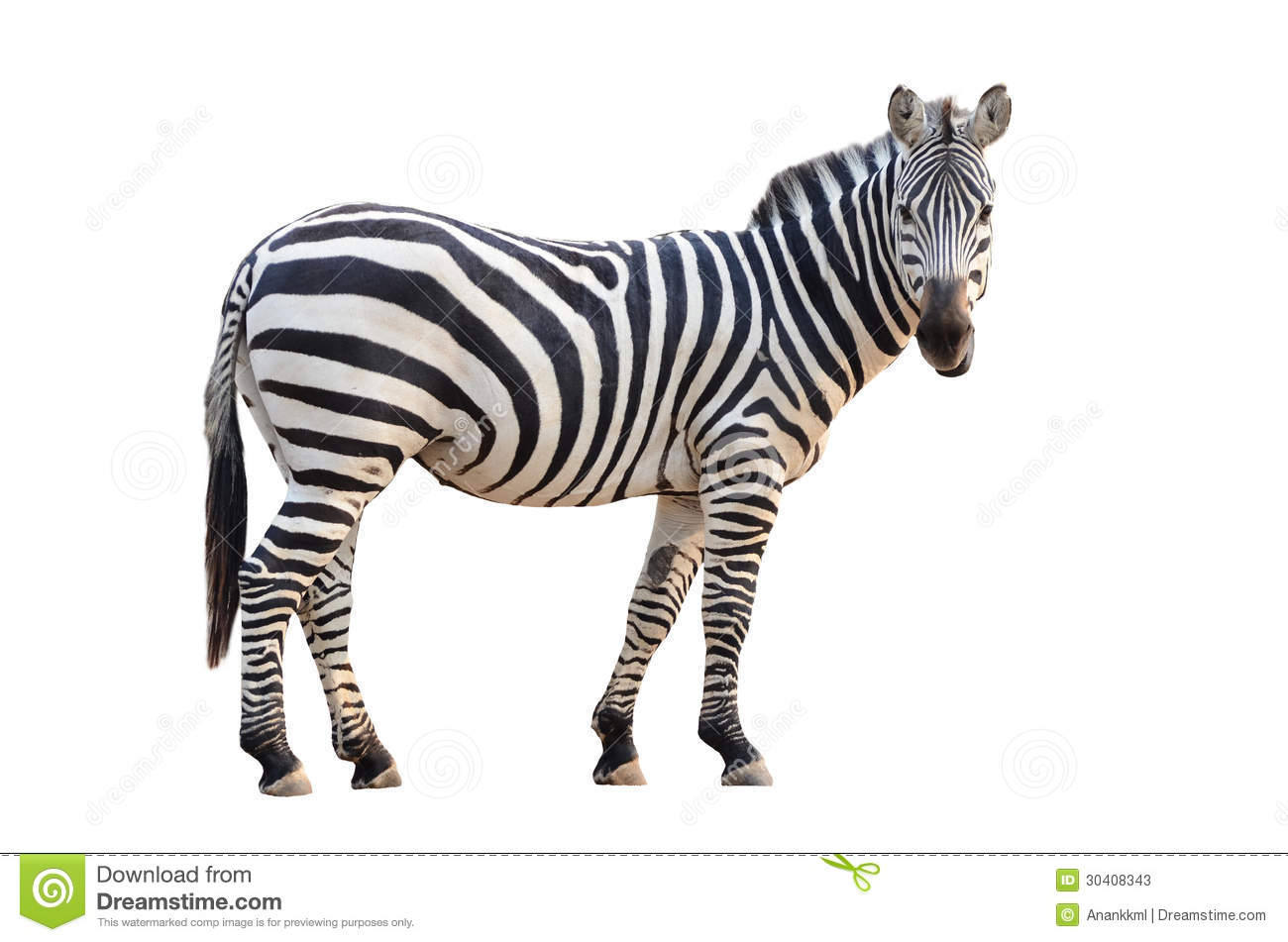 Zebra Isolated Stock Photos - Image: 30408343