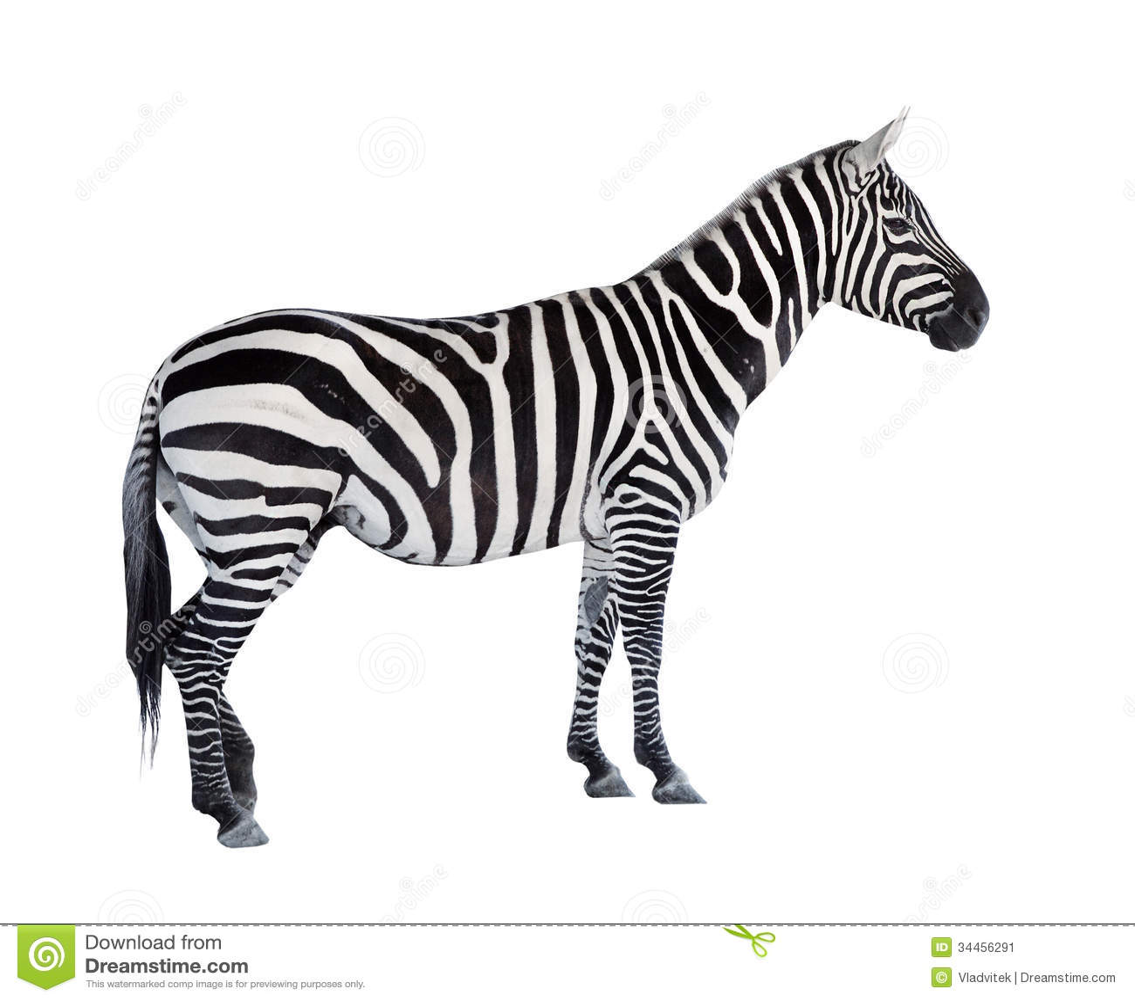 The Zebra. Stock Image - Image: 34456291