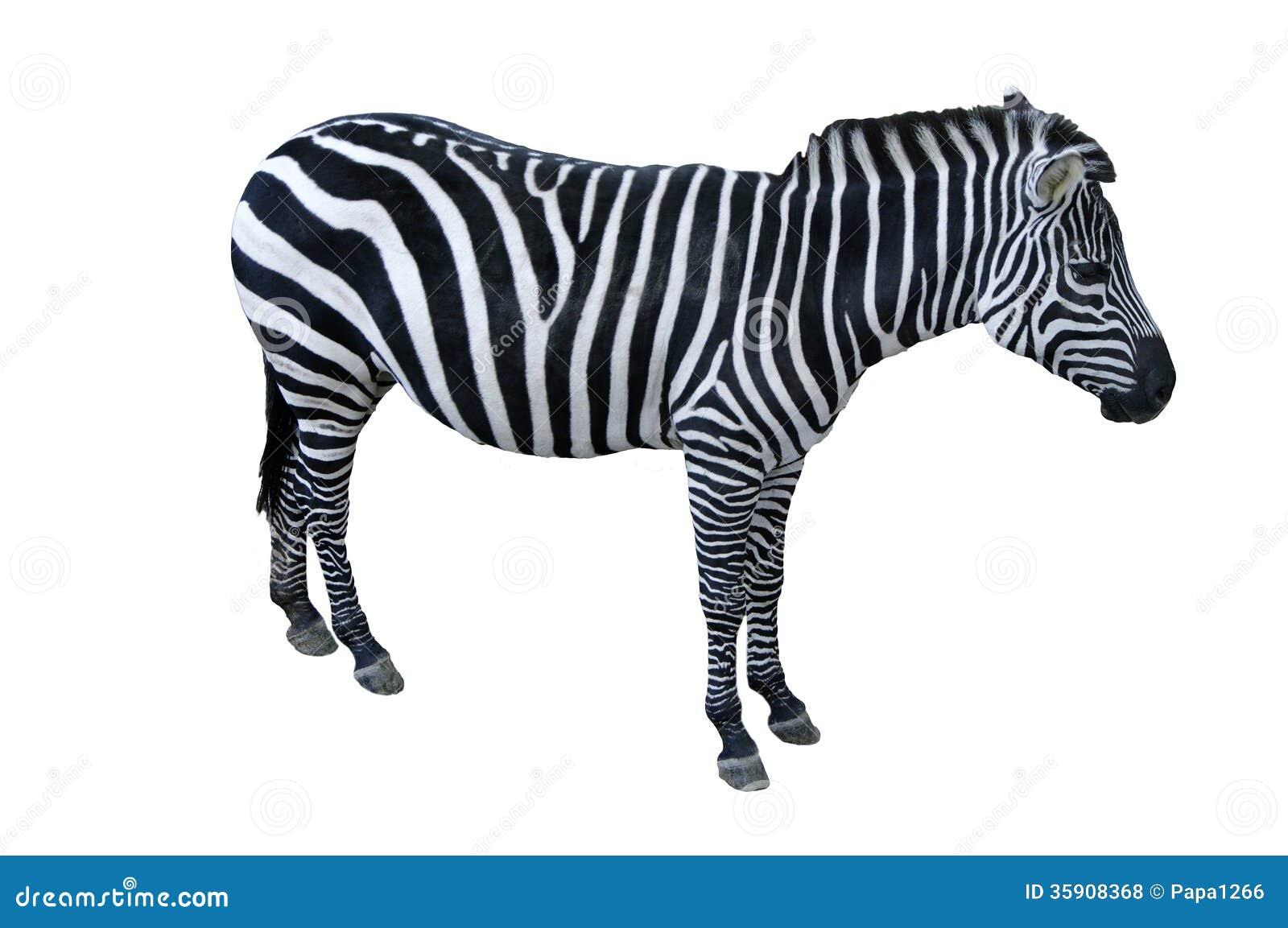 Zebra Royalty Free Stock Photos - Image: 35908368