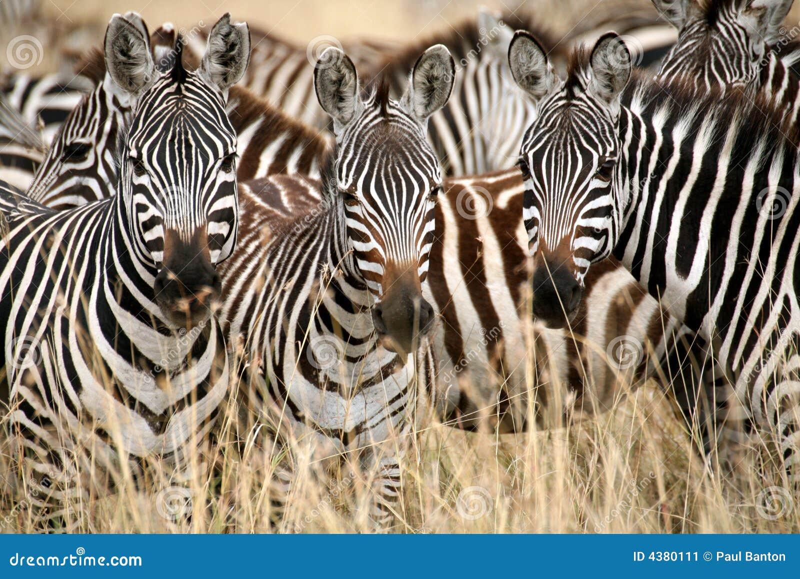 Zebra (Kenia)