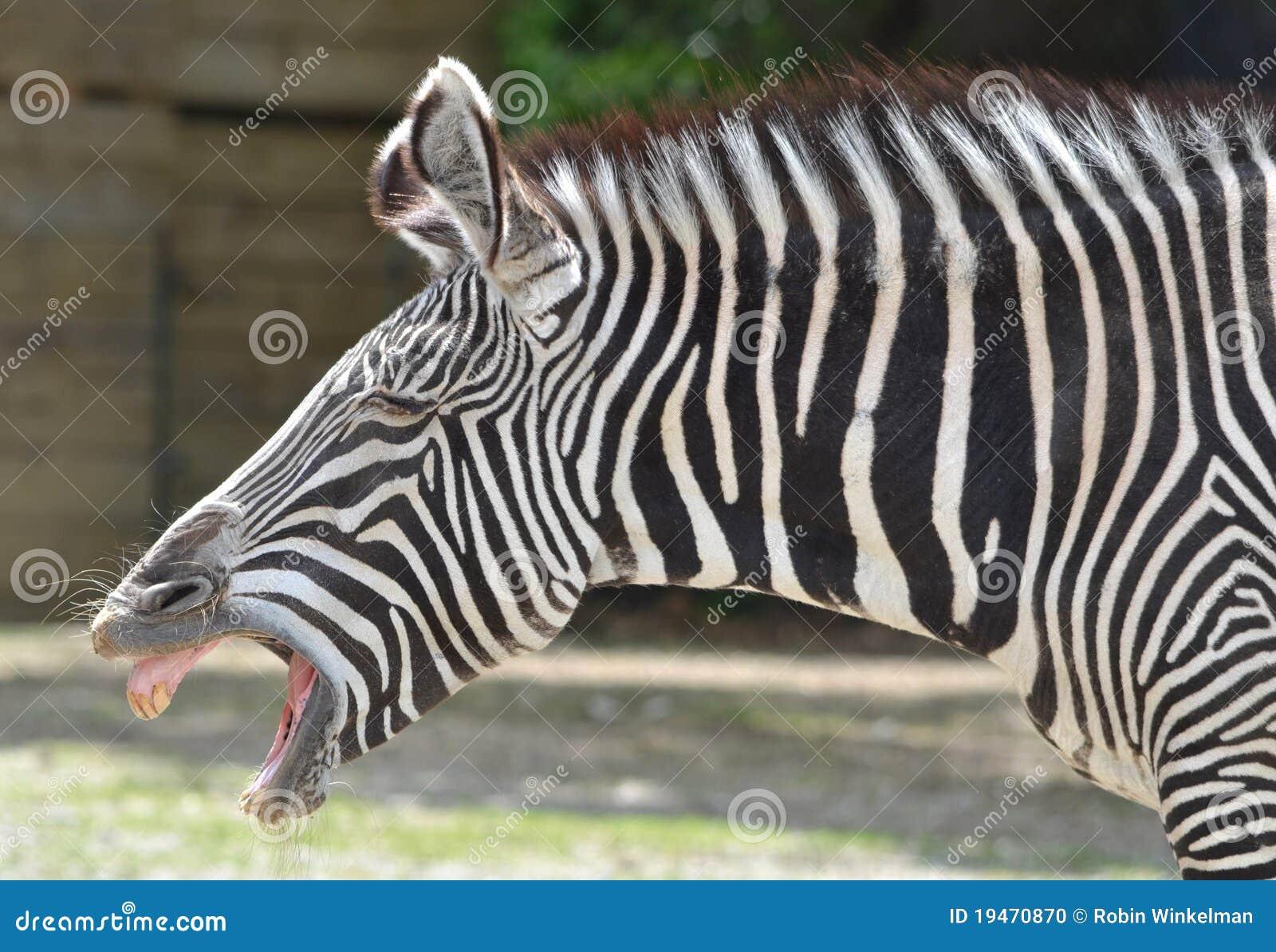 Zebra Laughing Stock Photo - Image: 19470870 - photo#31