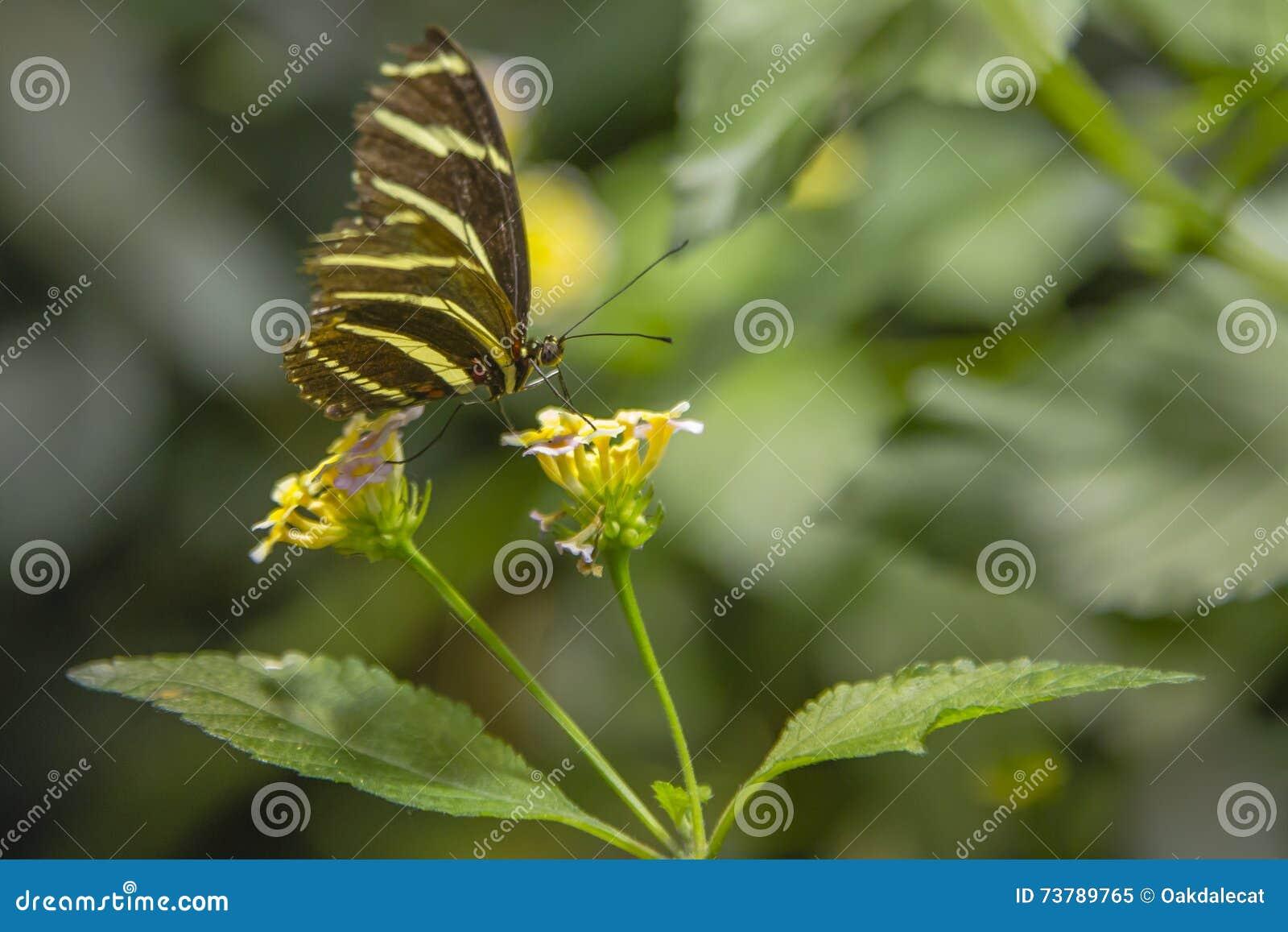 Zebra Longwing Butterfly Feeding