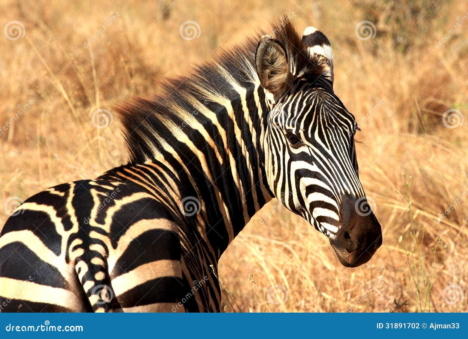 zebra look stock photography image 31891702. Black Bedroom Furniture Sets. Home Design Ideas