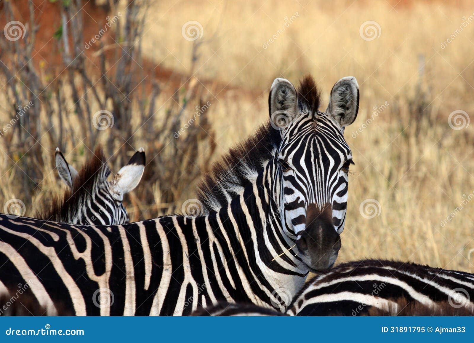 zebra look royalty free stock photo image 31891795. Black Bedroom Furniture Sets. Home Design Ideas