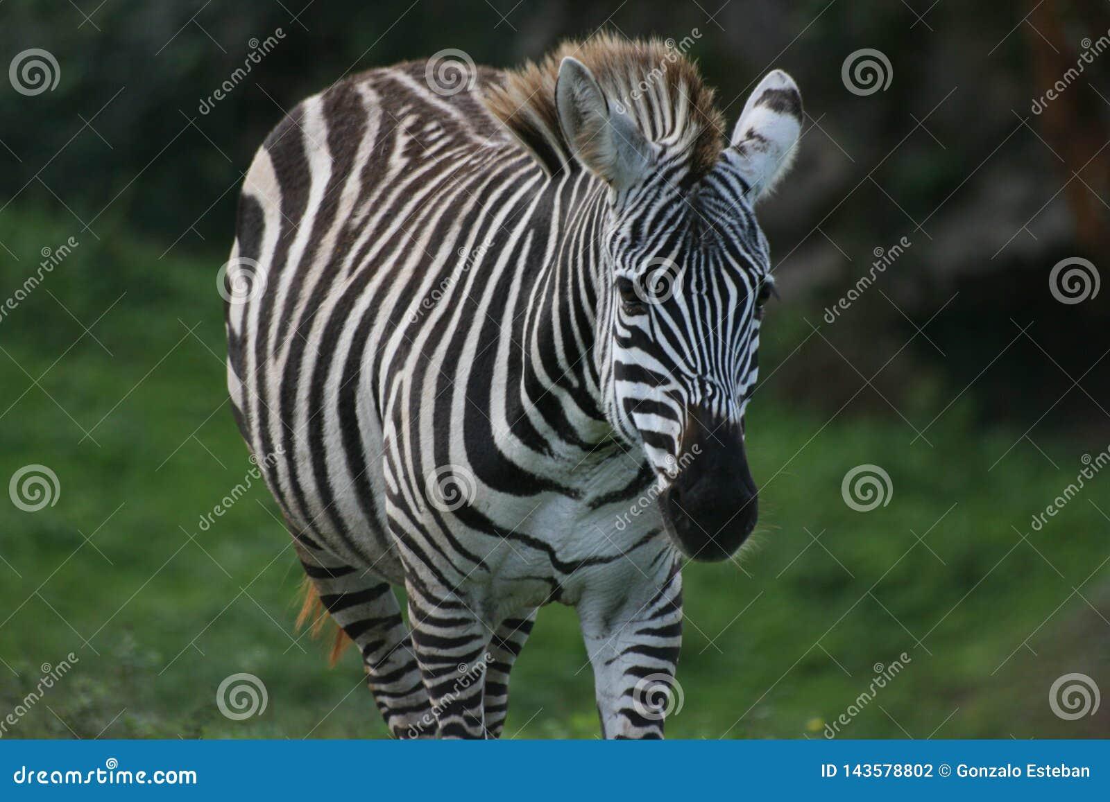 Zebra lookin zur Kamera