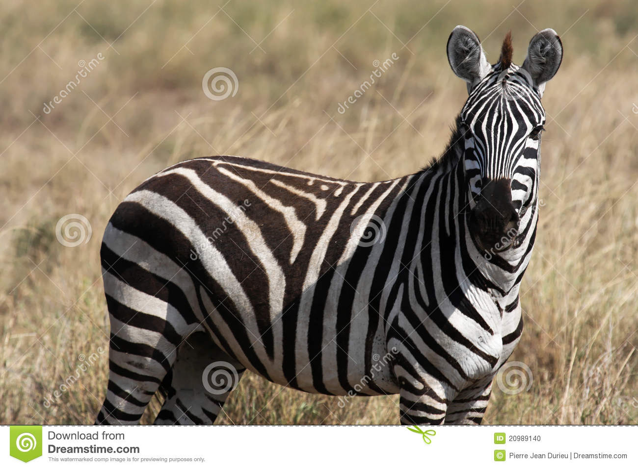 a zebra looks at you stock photo image 20989140. Black Bedroom Furniture Sets. Home Design Ideas