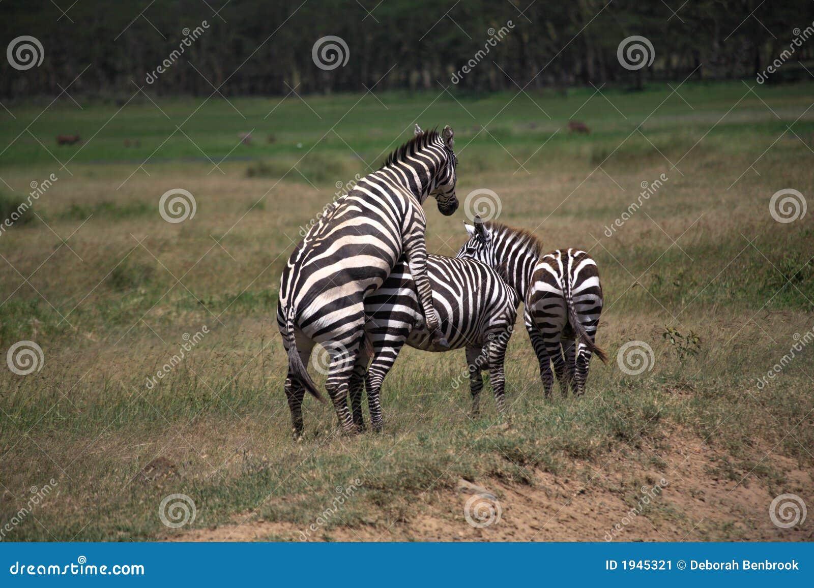 Horse Mating With Zebra Zebra mating