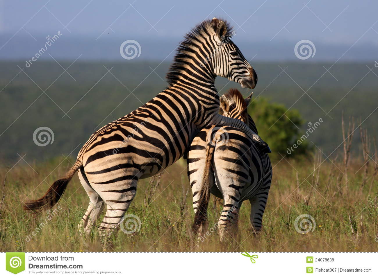 Zebra Mating Stock Photo Image Of Close African Africa 24078638