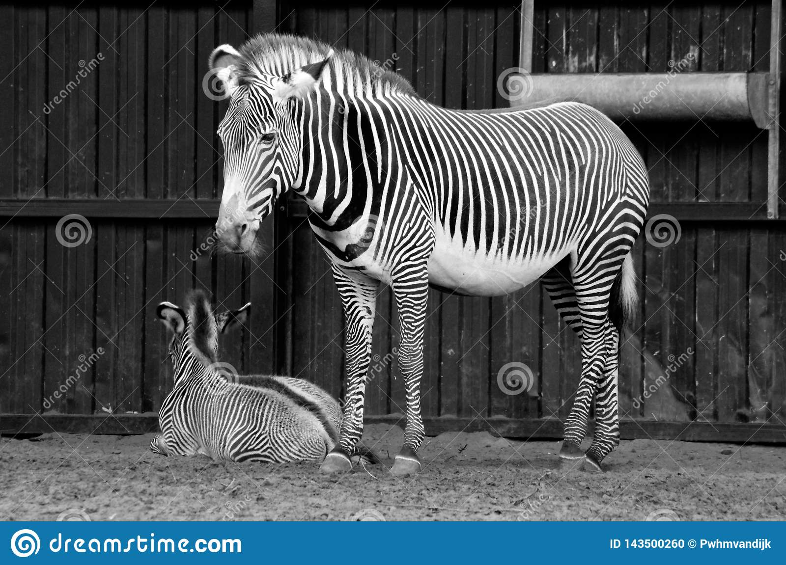 Zebra mother with little one