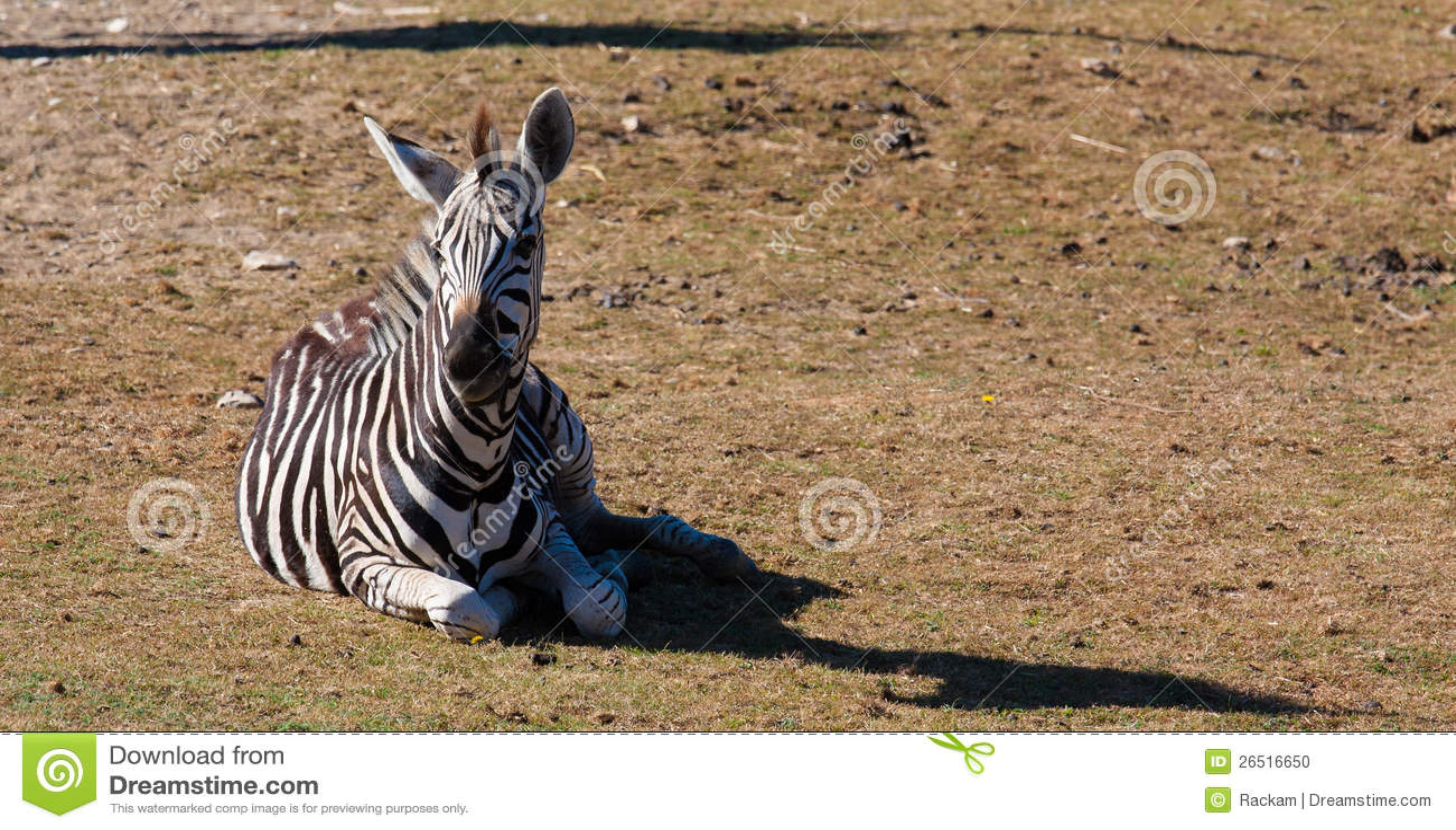 Zebra na grama