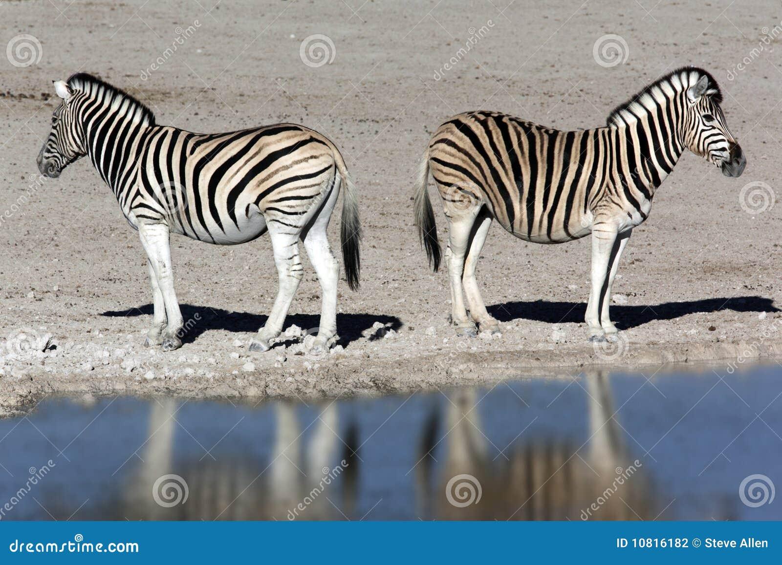Zebra - Namibia