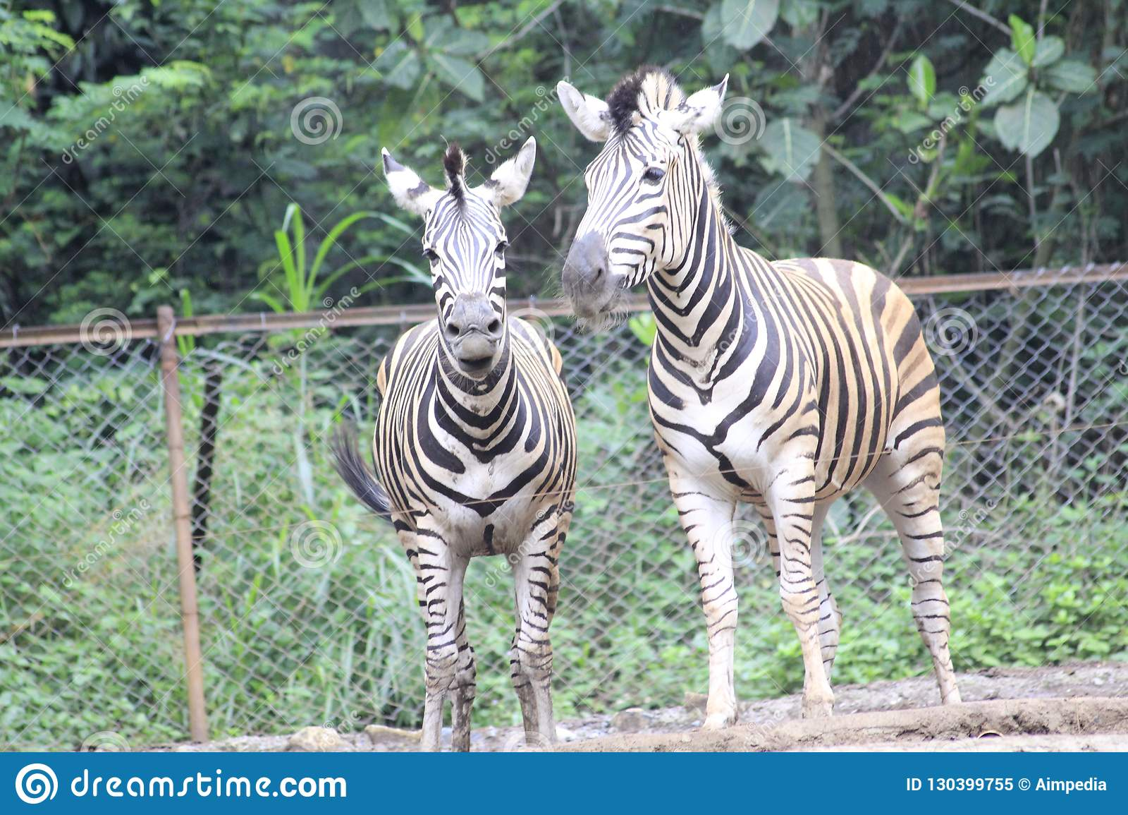 Zebra no jardim zoológico Bandung Indonésia 2