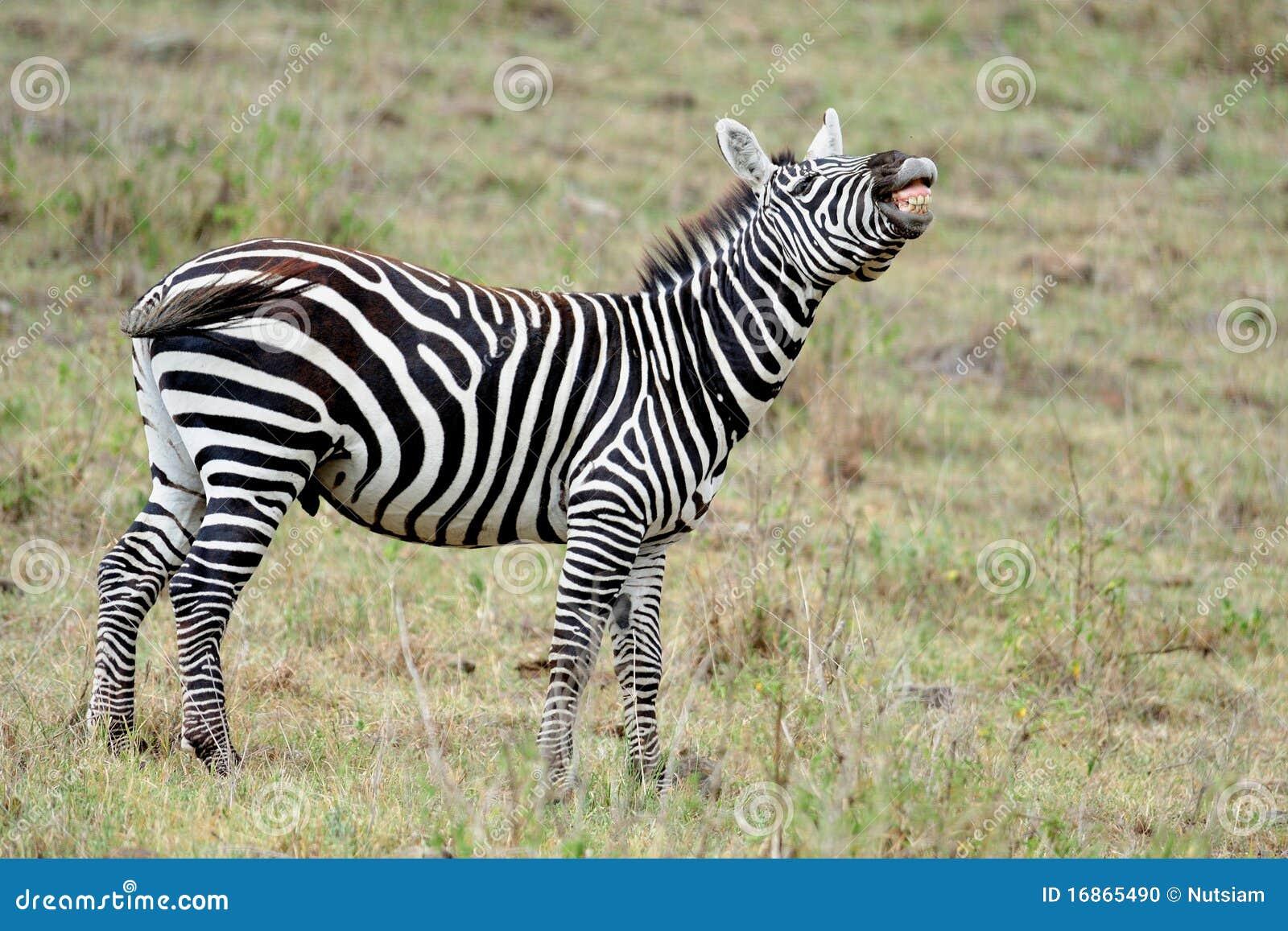 Zebra no masai mara, KENYA