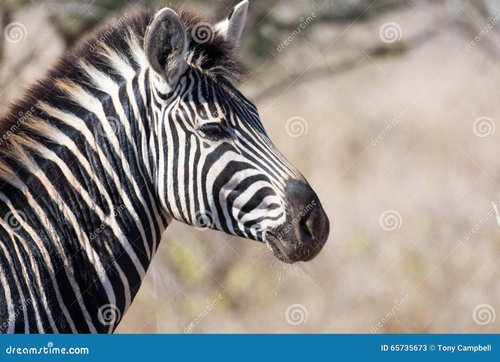 Zebra no parque nacional de Kruger