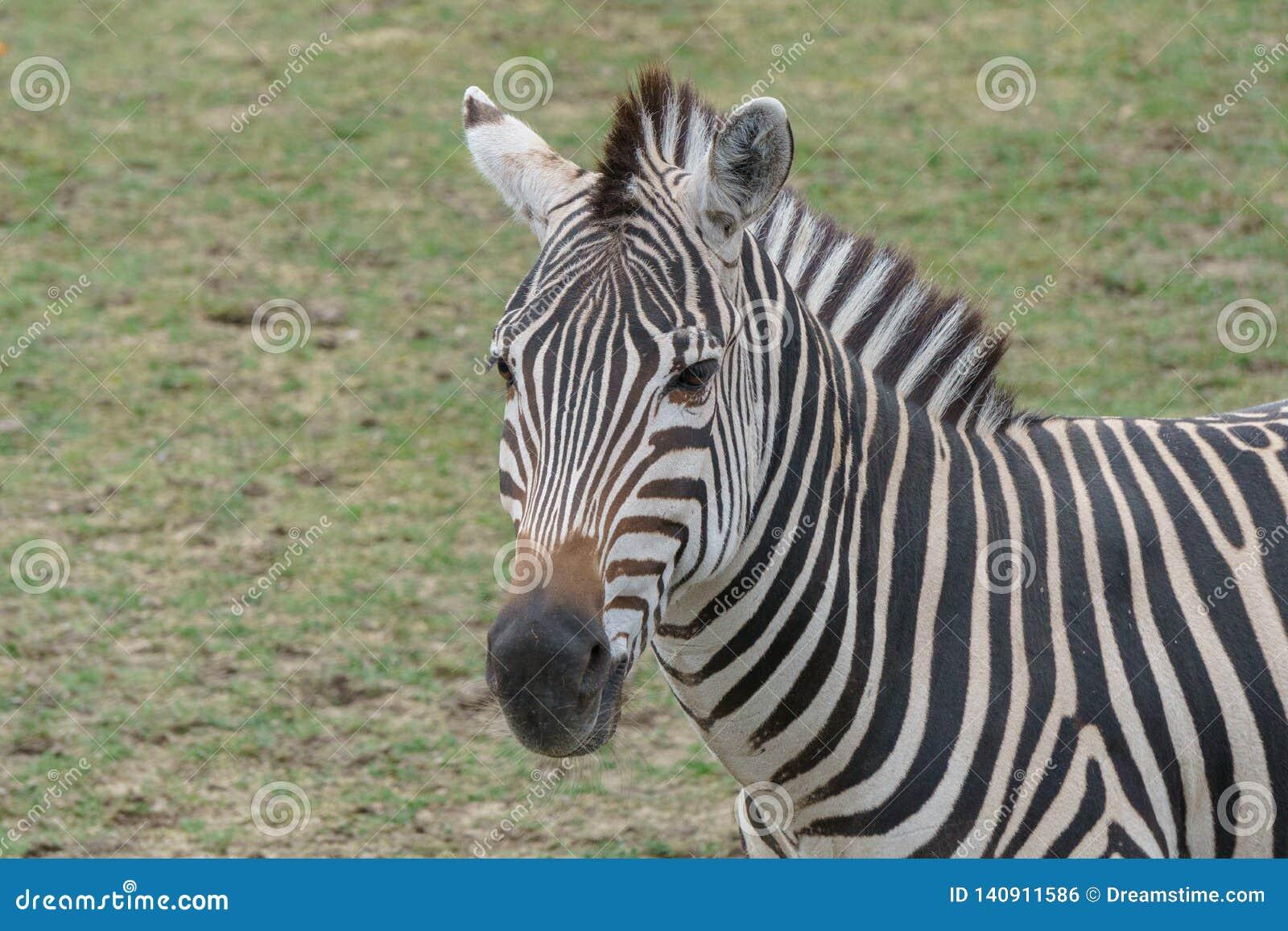 Zebra nova que está ao redor na região selvagem