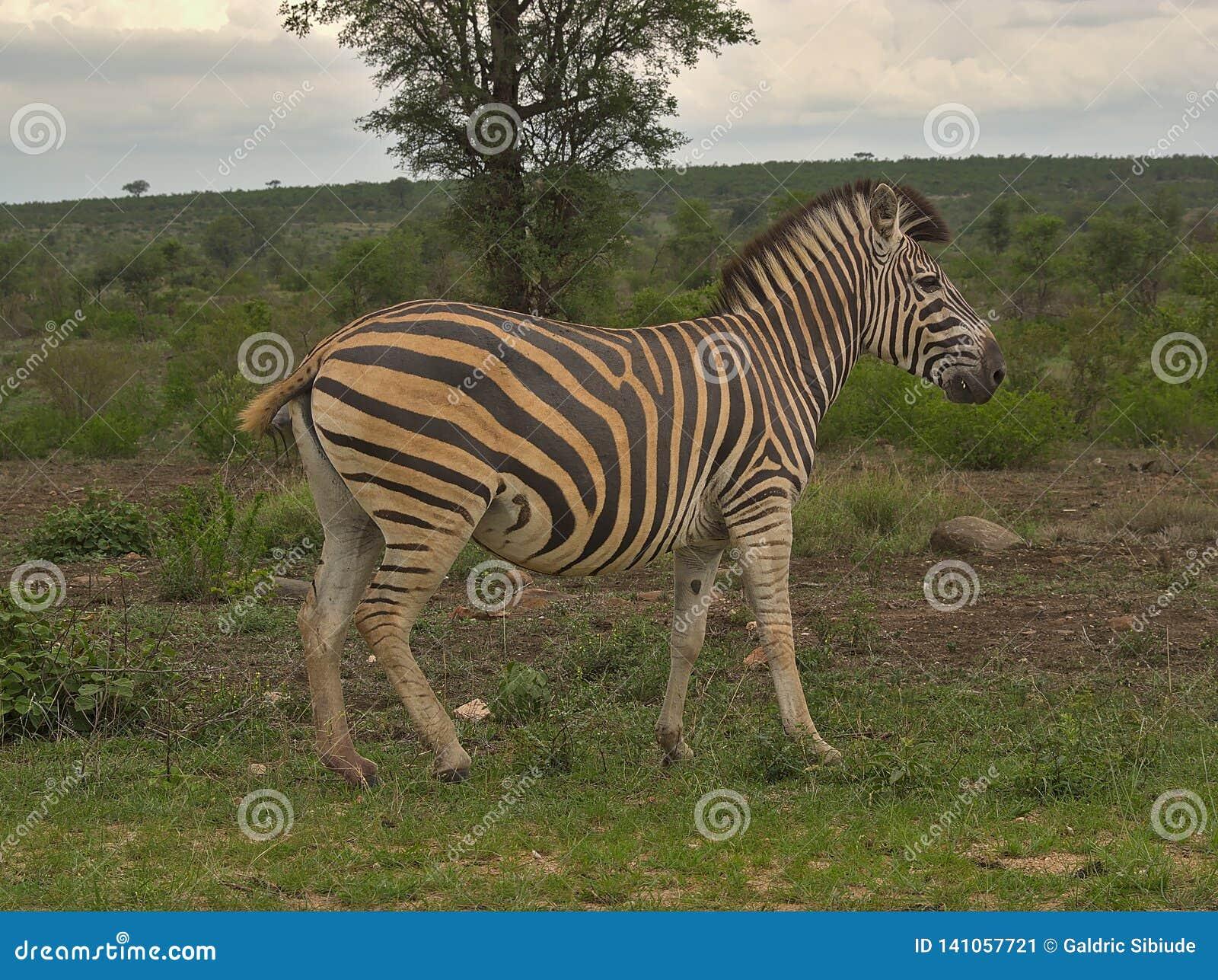 Zebra op bewolkte dag in Kruger